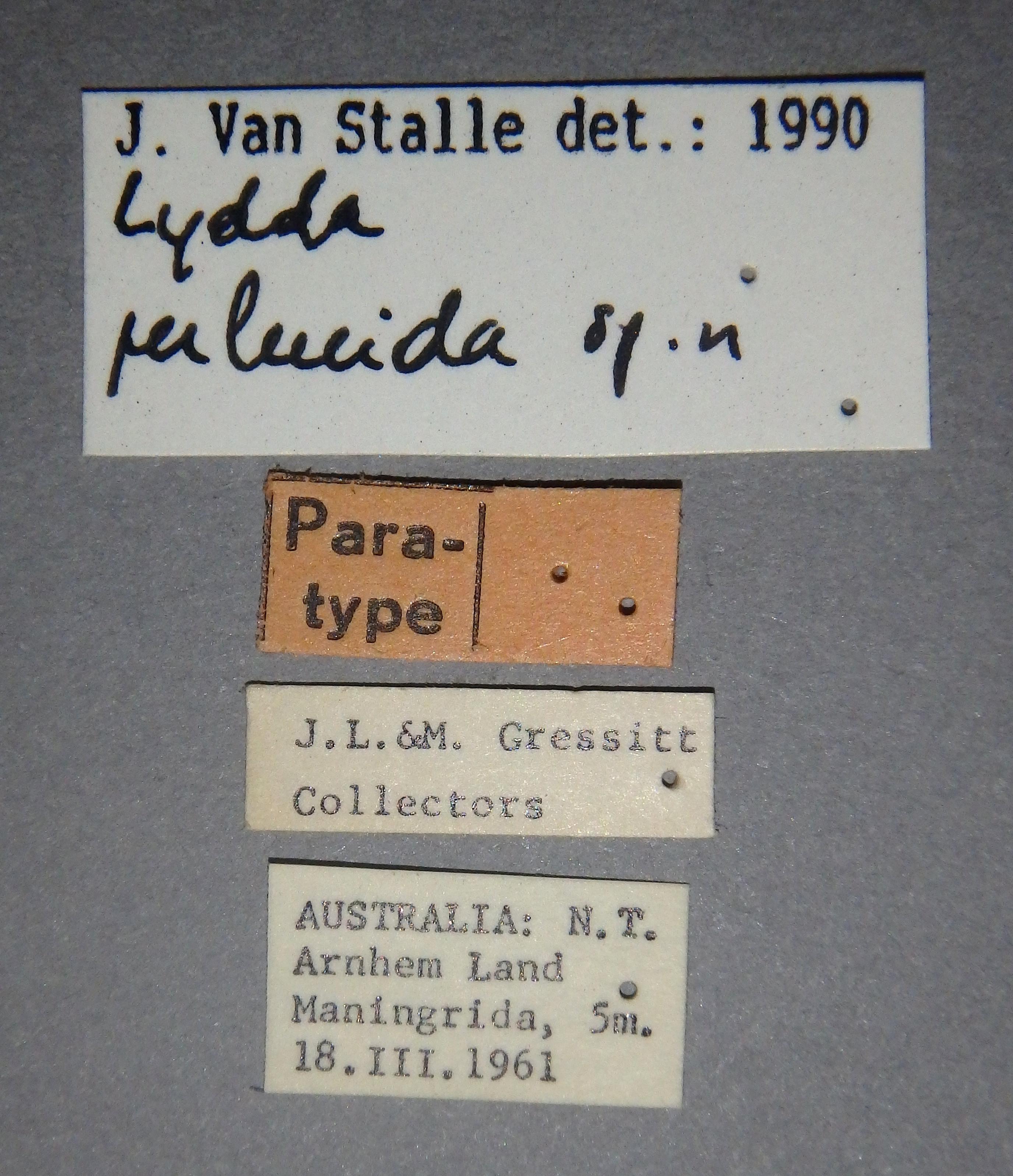 Lydda perlucida pt Lb.JPG