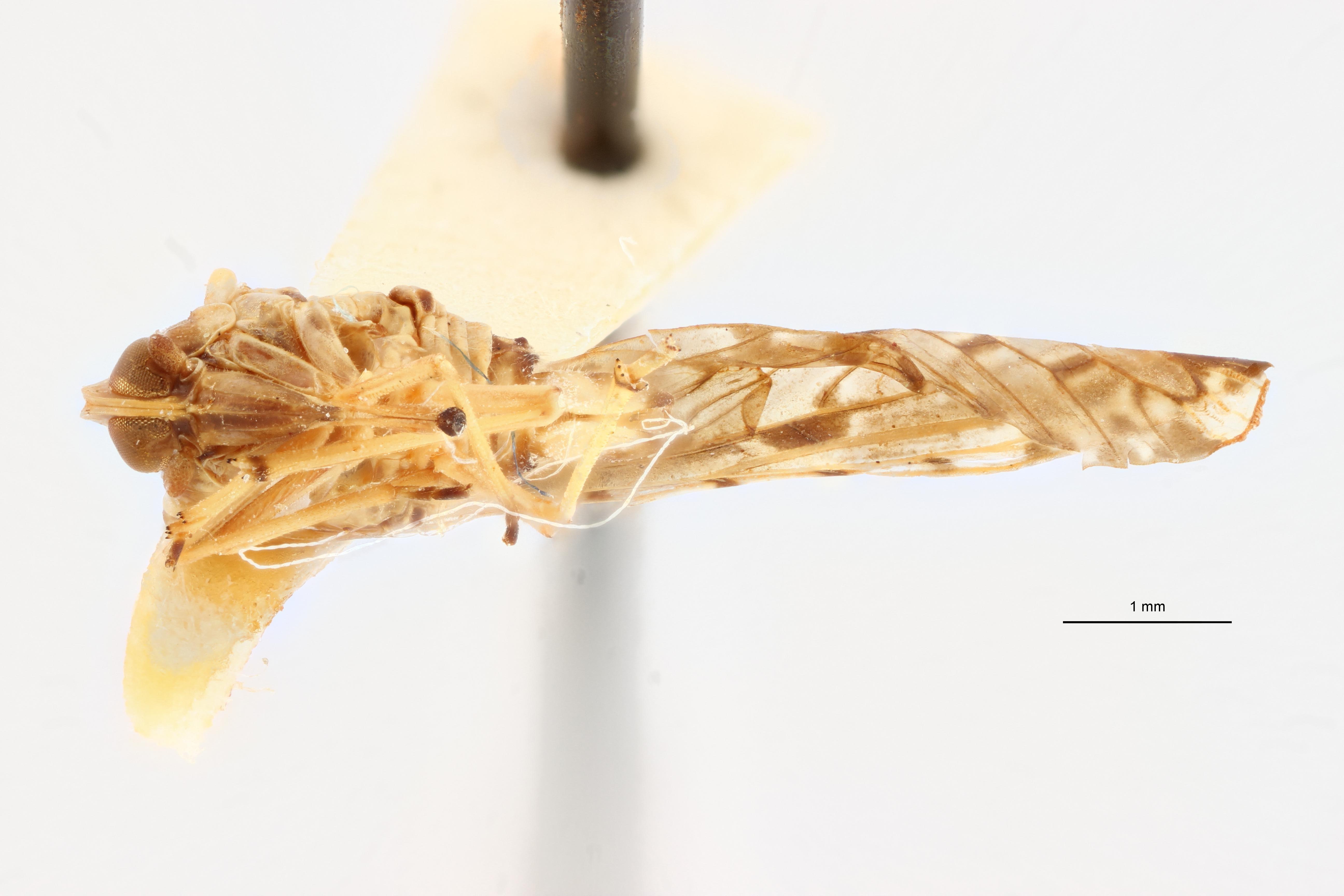 Lydda perlucida pt V ZS PMax Scaled.jpeg