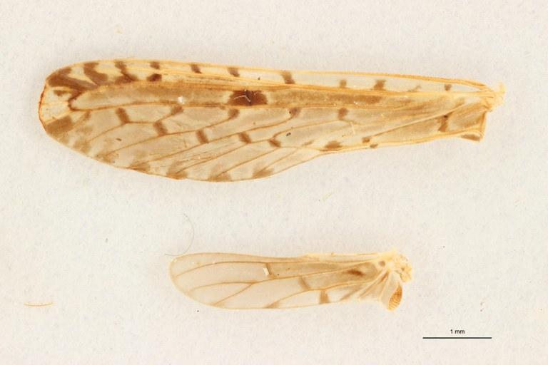 Lydda perlucida pt W ZS PMax Scaled.jpeg