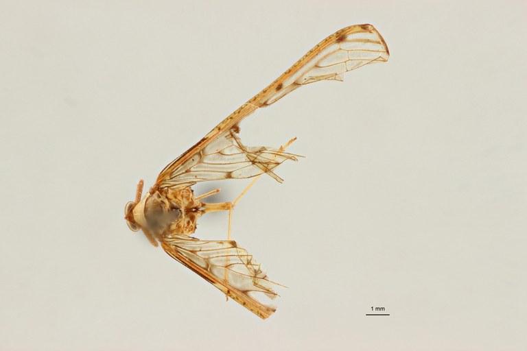 Neodiostrombus longicaudata pt D ZS PMax Scaled.jpeg