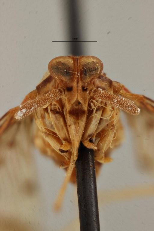 Neodiostrombus longicaudata pt F ZS PMax Scaled.jpeg
