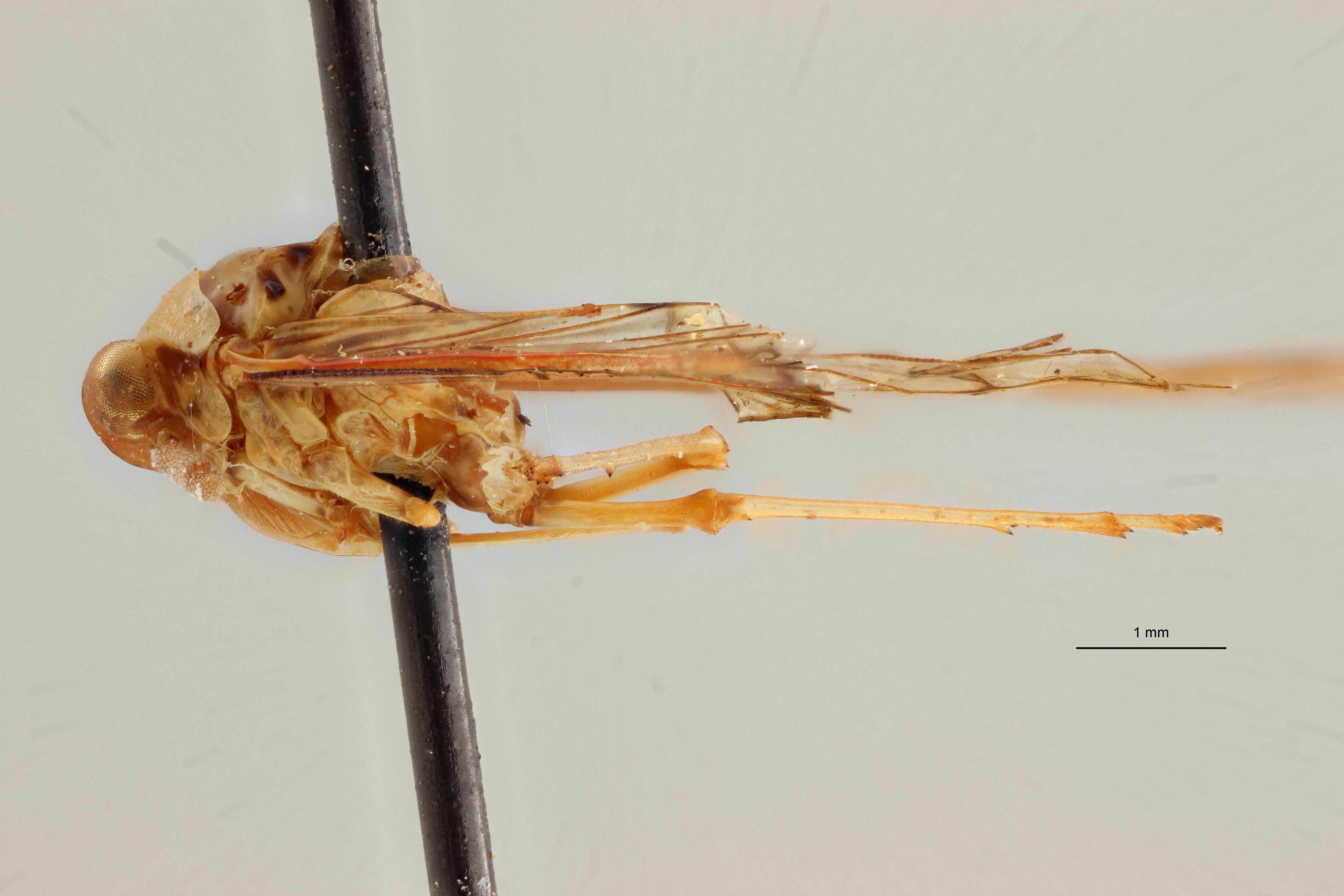 Neodiostrombus longicaudata pt L ZS PMax Scaled.jpeg
