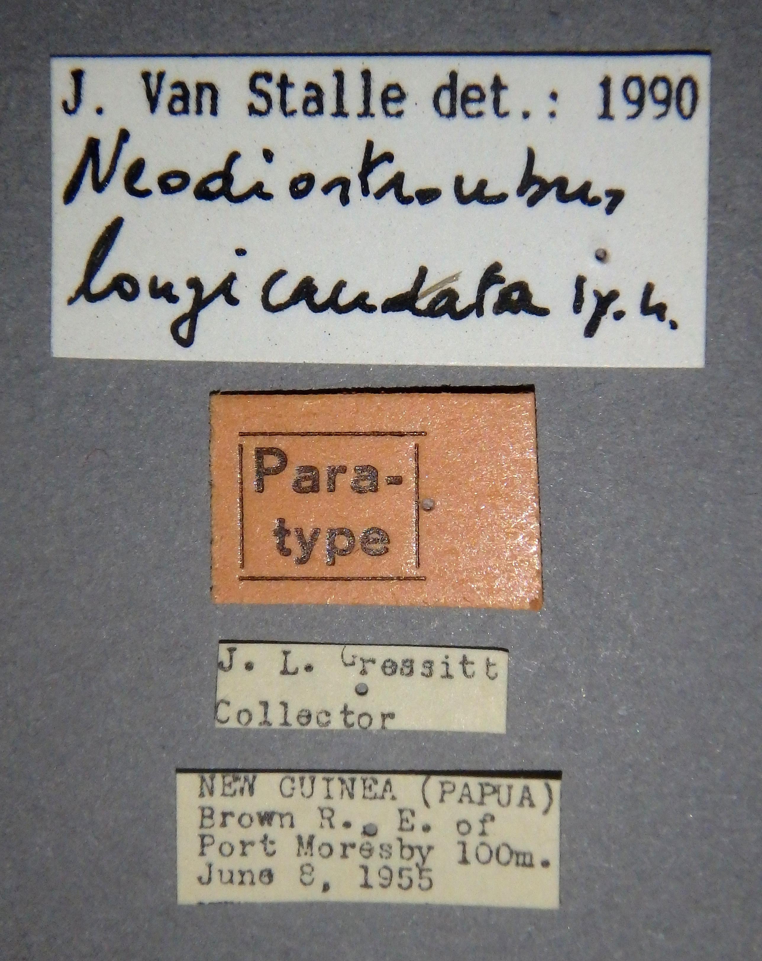 Neodiostrombus longicaudata pt Lb.JPG