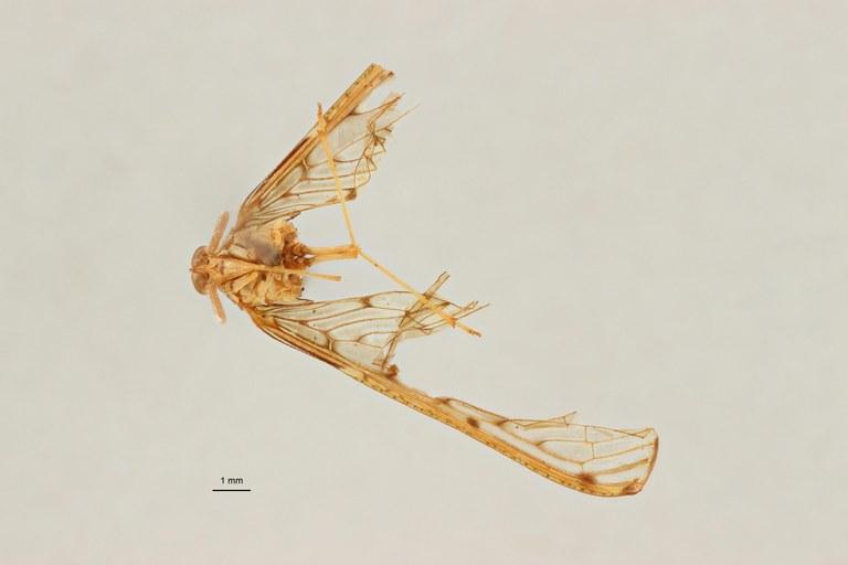 Neodiostrombus longicaudata pt V ZS PMax Scaled.jpeg