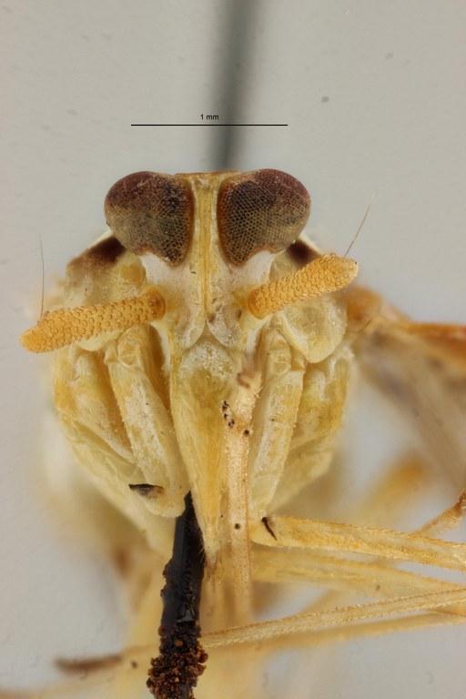 Neodiostrombus punctatus pt F ZS PMax Scaled.jpeg