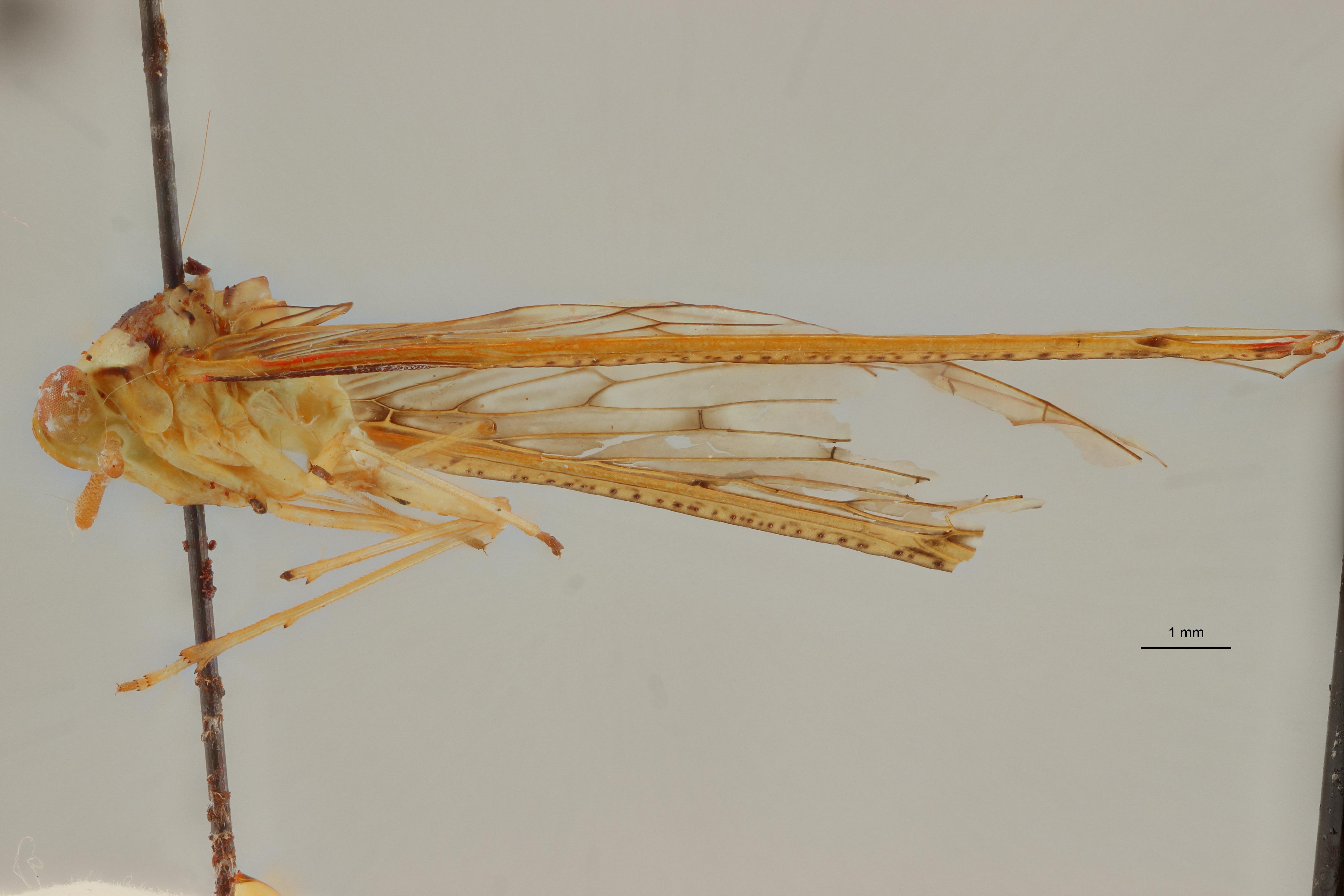 Neodiostrombus punctatus ht L ZS PMax Scaled.jpeg
