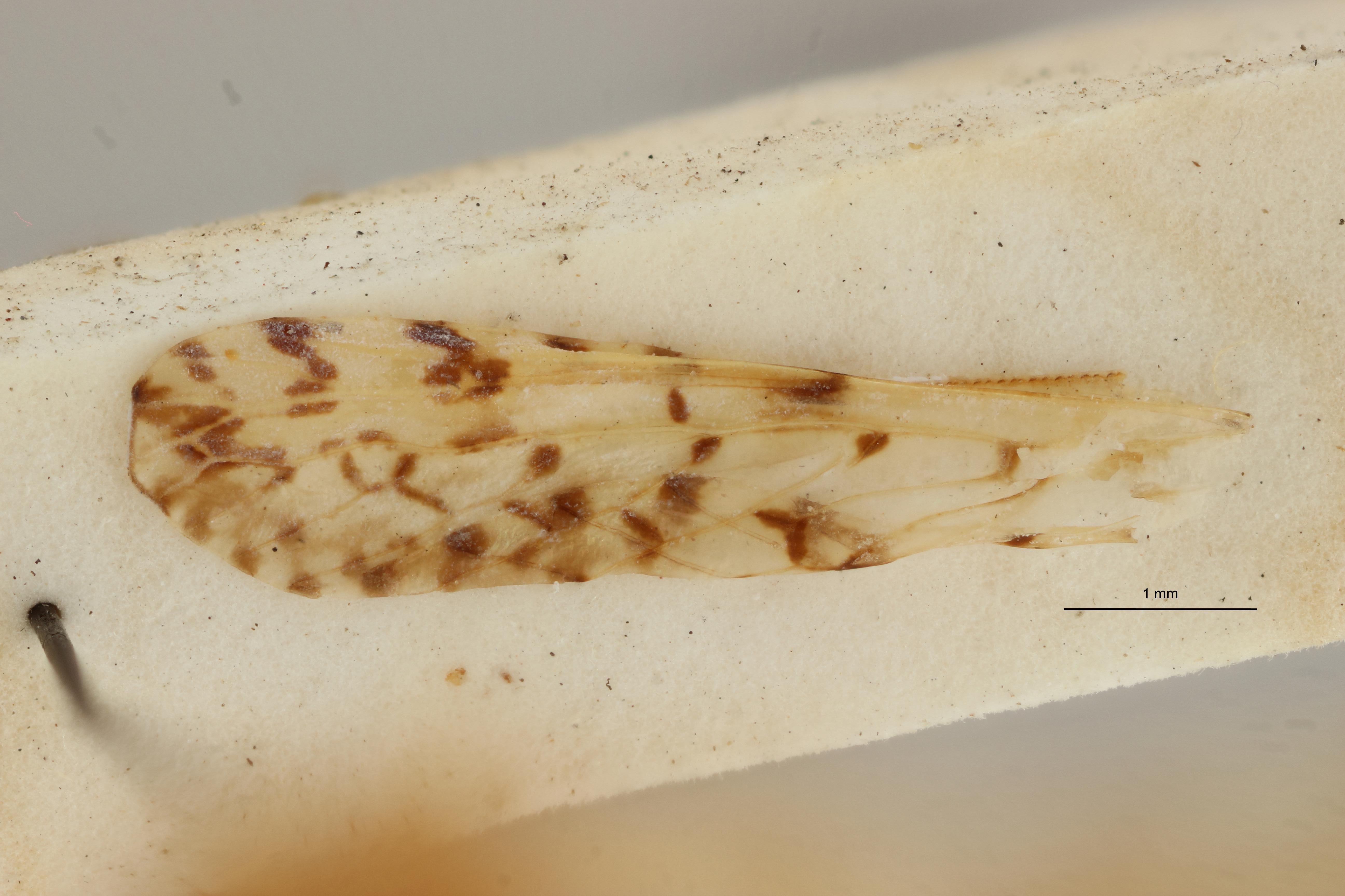 Zorabana maculata pt W ZS PMax Scaled.jpeg