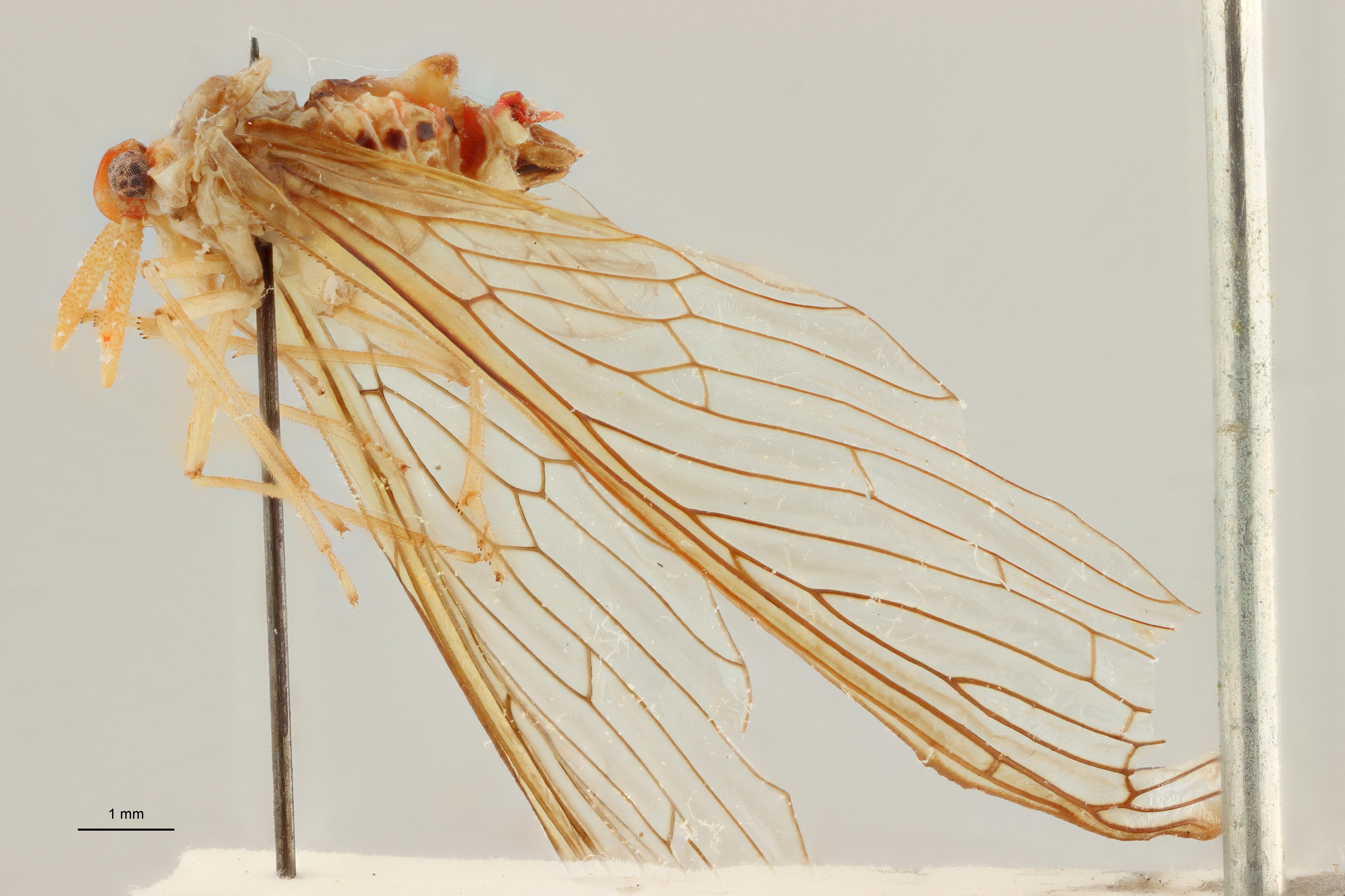Zoraida (Peggiopsis) aenea pt L ZS PMax Scaled.jpeg