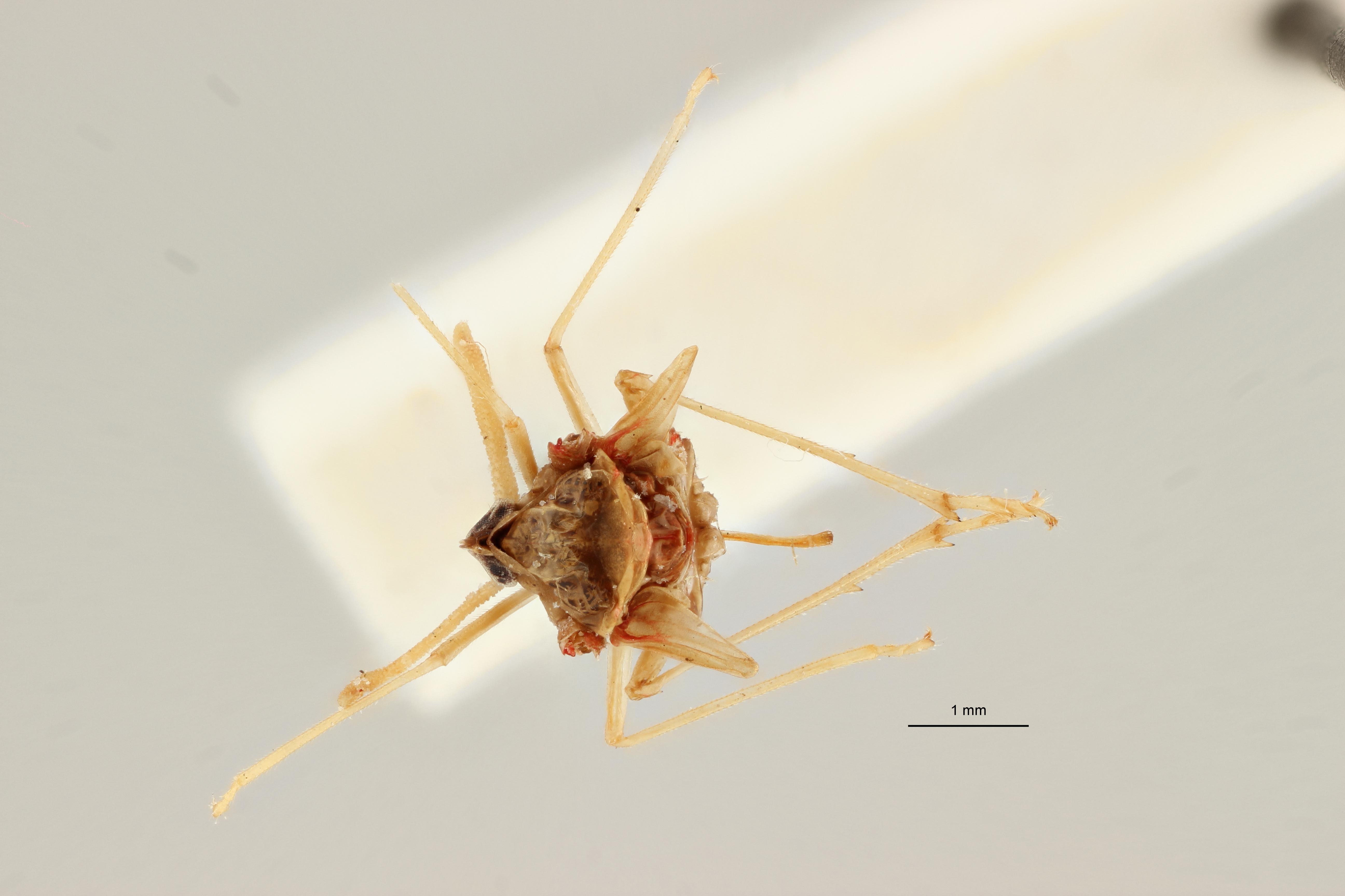 Zoraida (Zoraida) angolensis pt D ZS PMax Scaled.jpeg