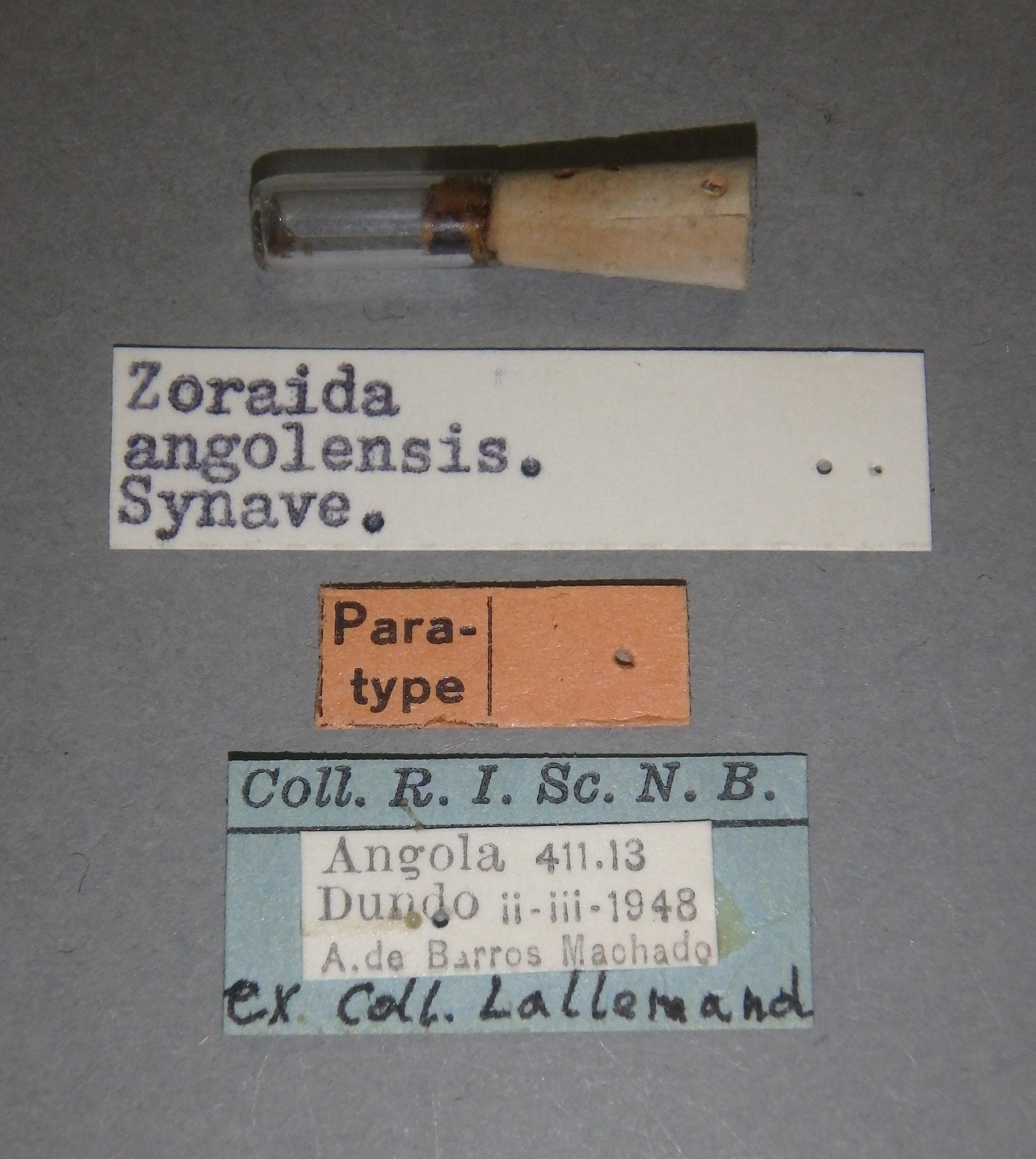 Zoraida (Zoraida) angolensis pt Lb.JPG