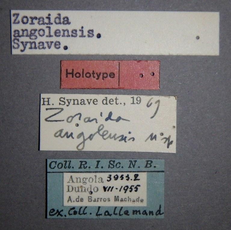 Zoraida (Zoraida) angolensis ht Lb.JPG