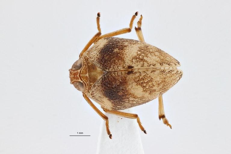 Gergithoides gnezdilovi ht D ZS PMax.jpg