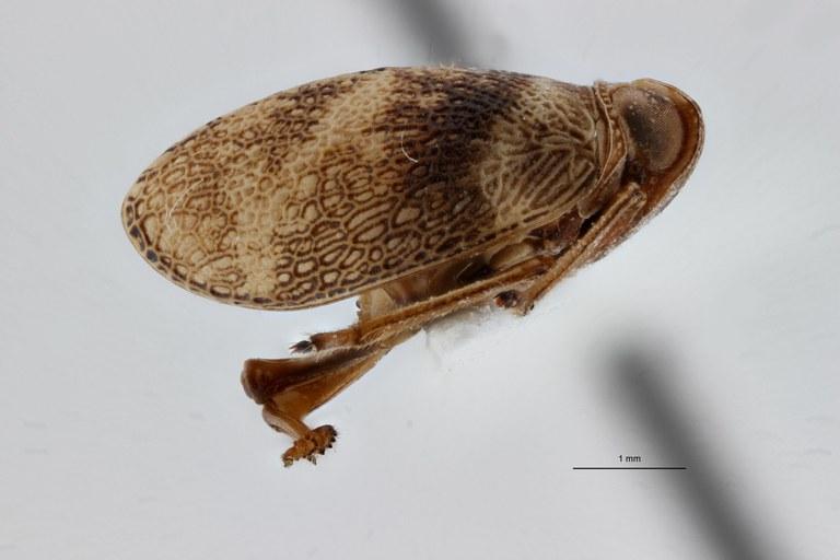 Gergithoides gnezdilovi ht L ZS PMax.jpg