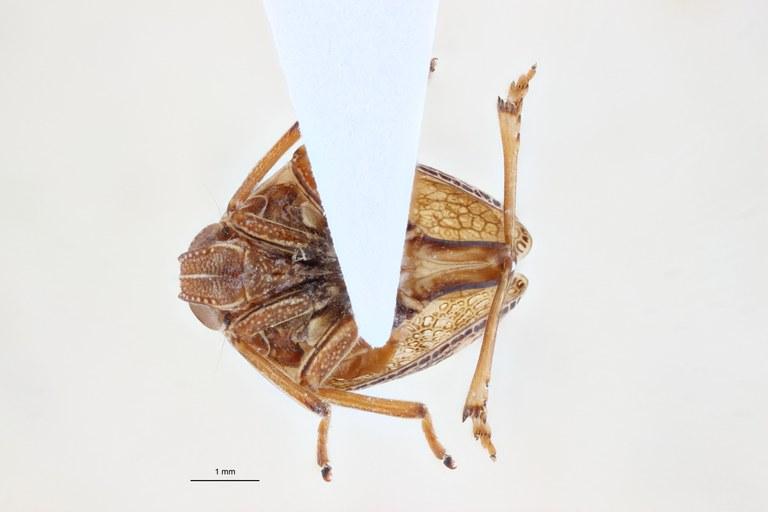 Gergithoides gnezdilovi ht V ZS PMax.jpg