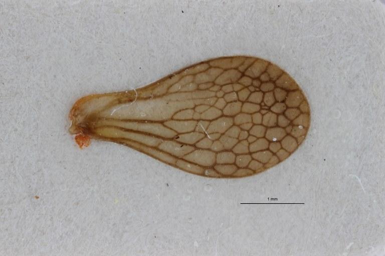 Gergithoides gnezdilovi ht W ZS PMax.jpg