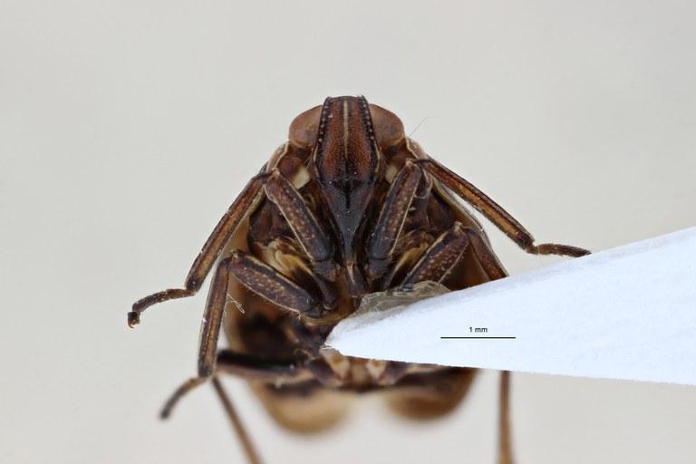 Gergithoides nui pt F ZS PMax.jpg