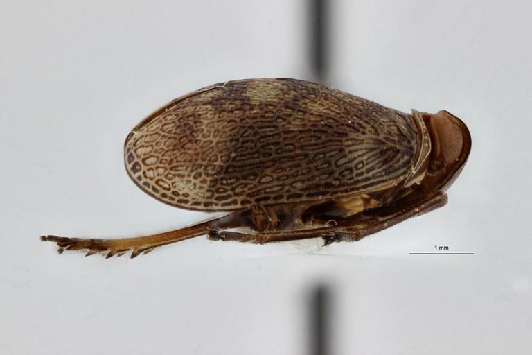 Gergithoides nui pt L ZS PMax.jpg