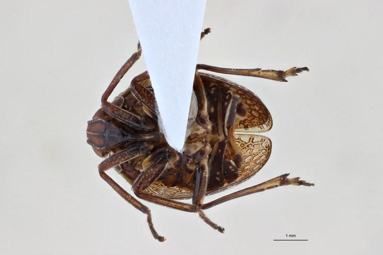 Gergithoides nui pt V ZS PMax.jpg