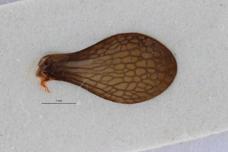 Gergithoides nui pt W ZS PMax.jpg