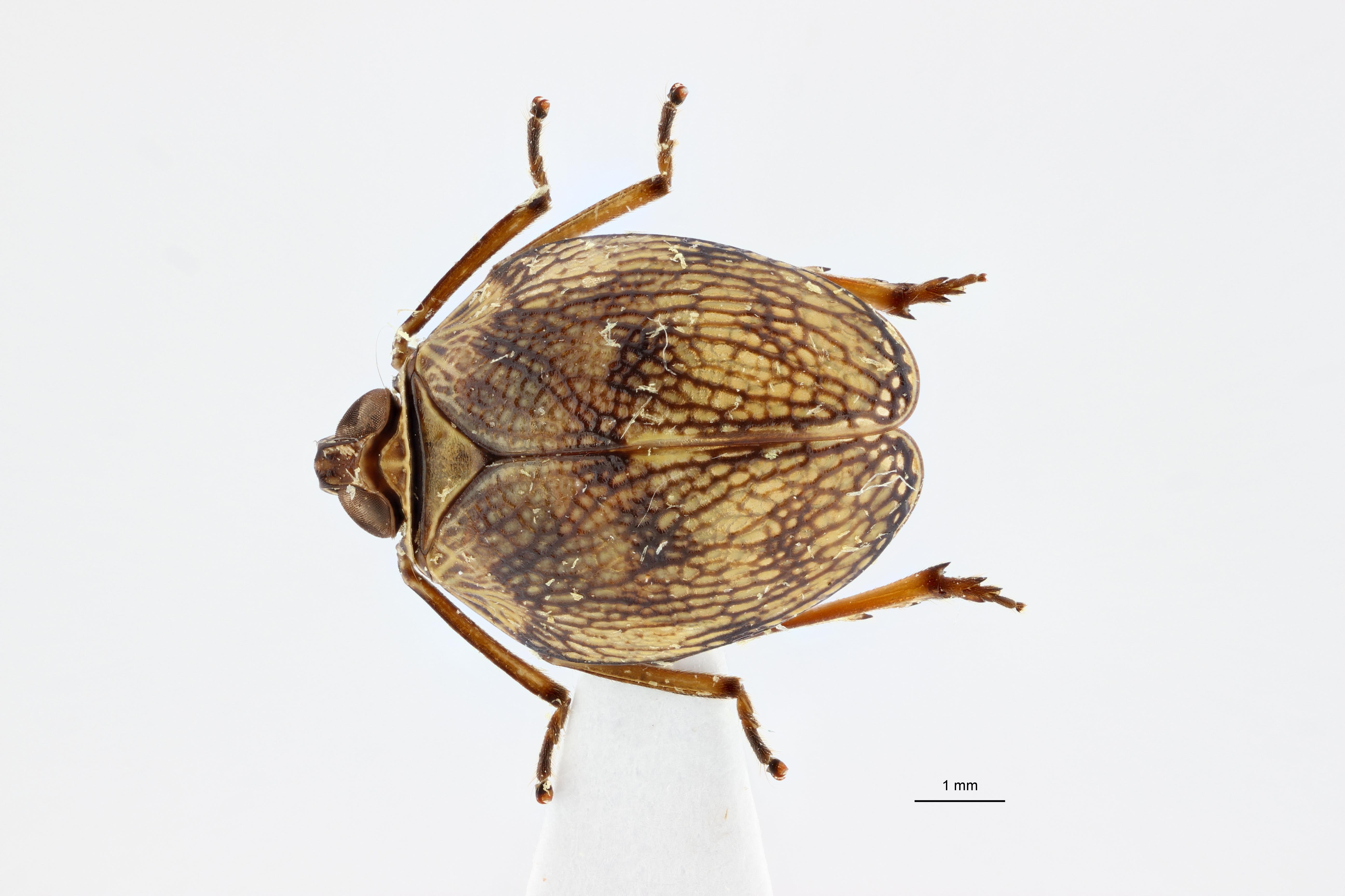 Neogergithoides baviana pt2 D ZS PMax.jpg