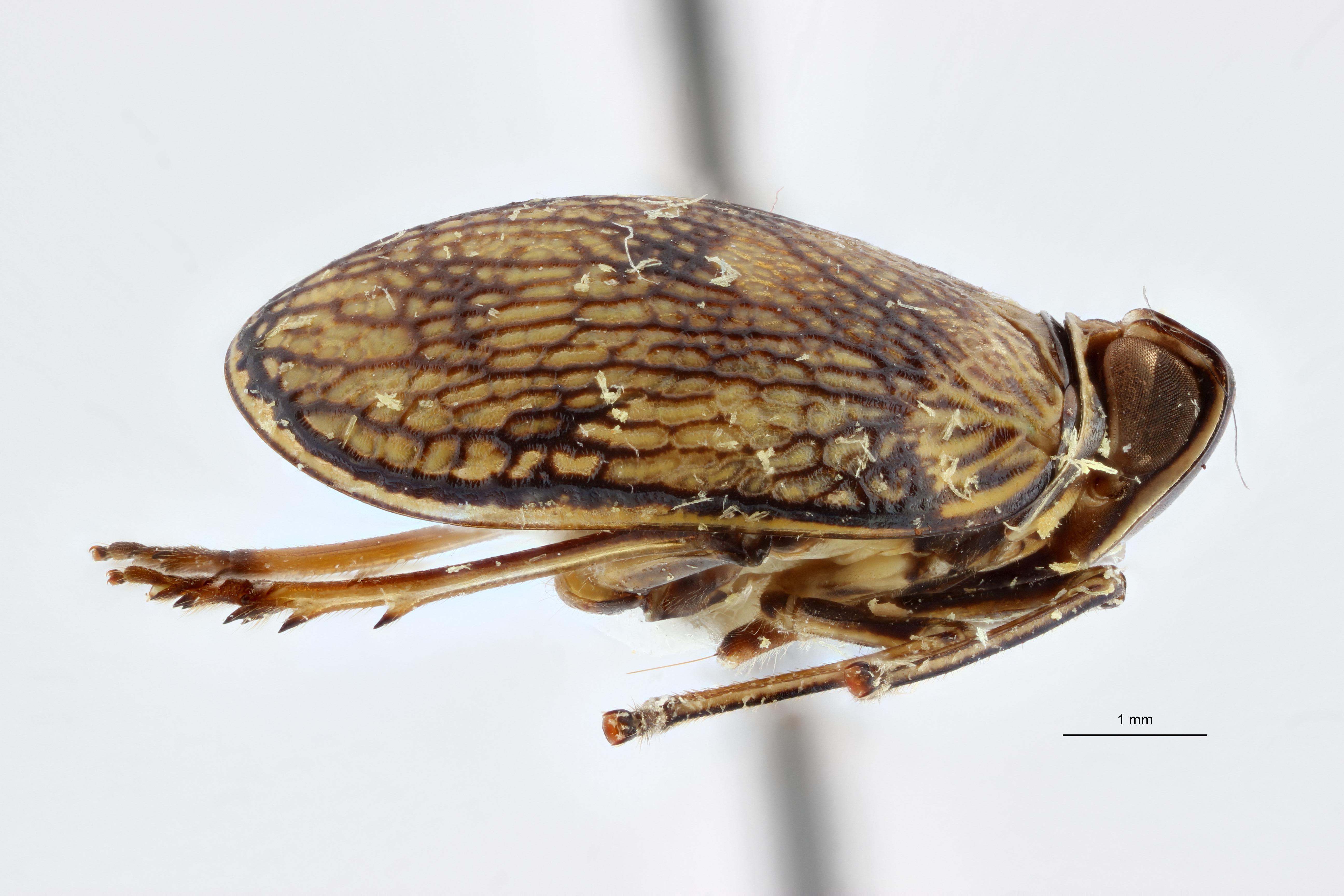 Neogergithoides baviana pt2 L ZS PMax.jpg