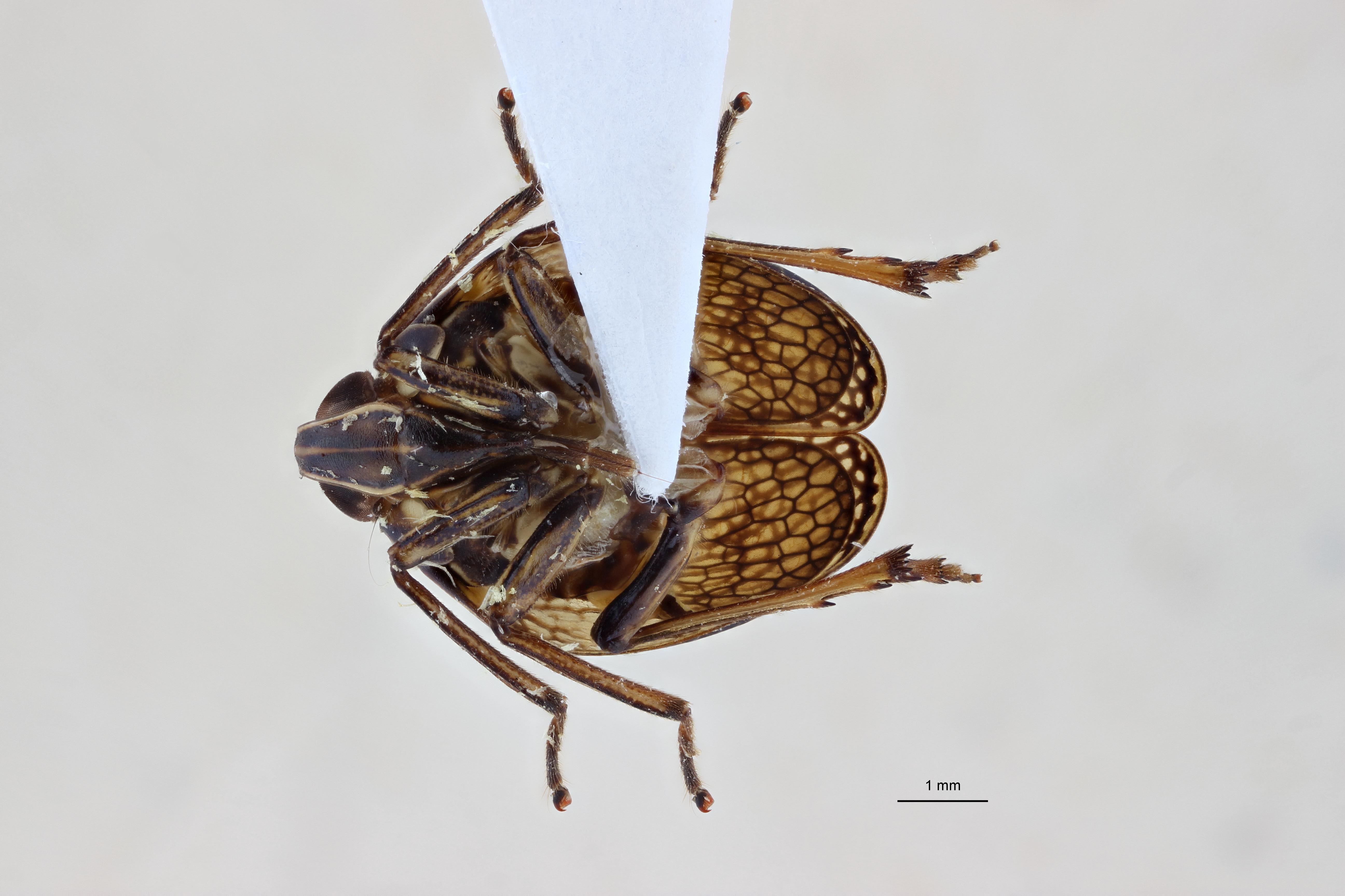 Neogergithoides baviana pt2 V ZS PMax.jpg