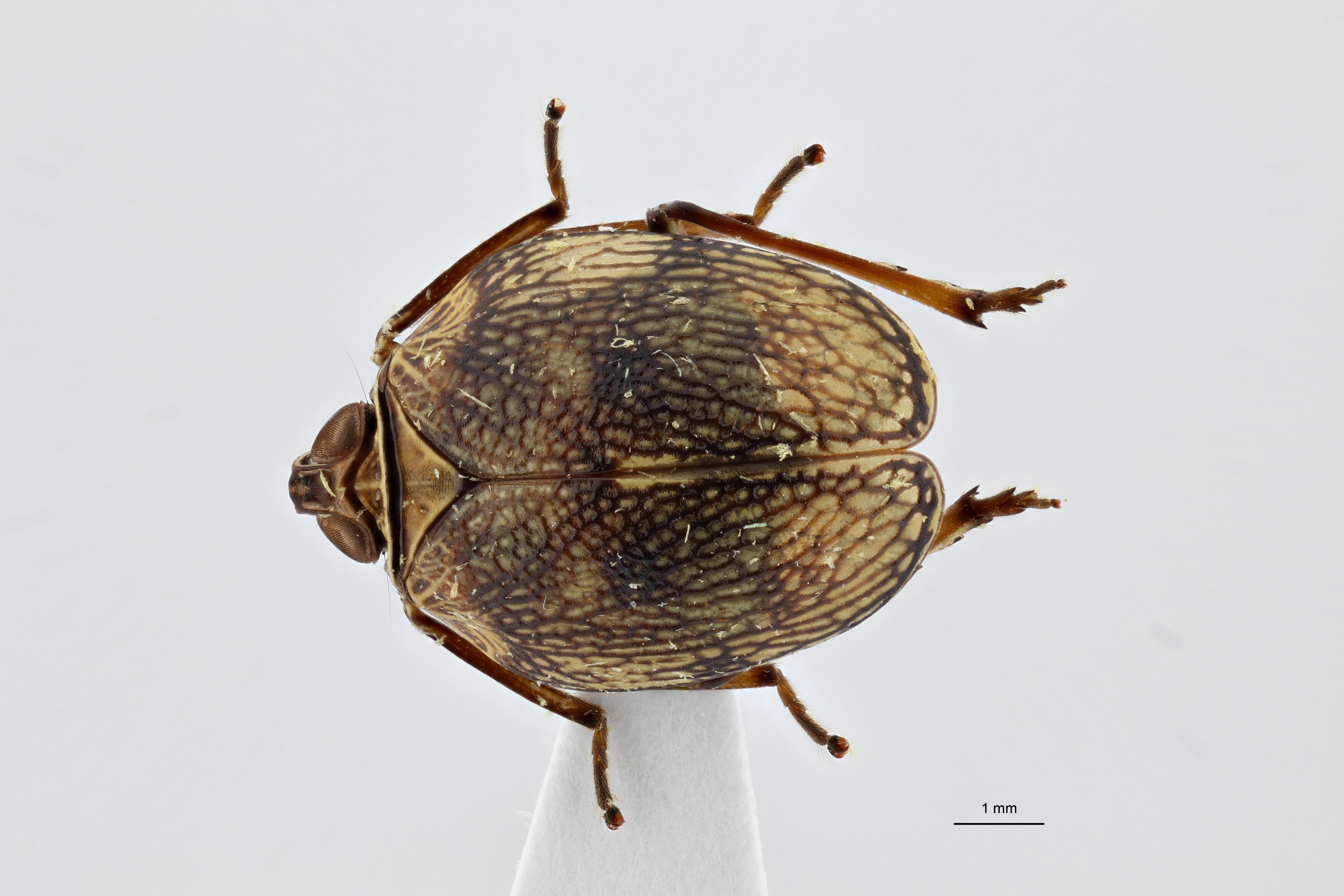 Neogergithoides baviana pt3 D ZS PMax.jpg