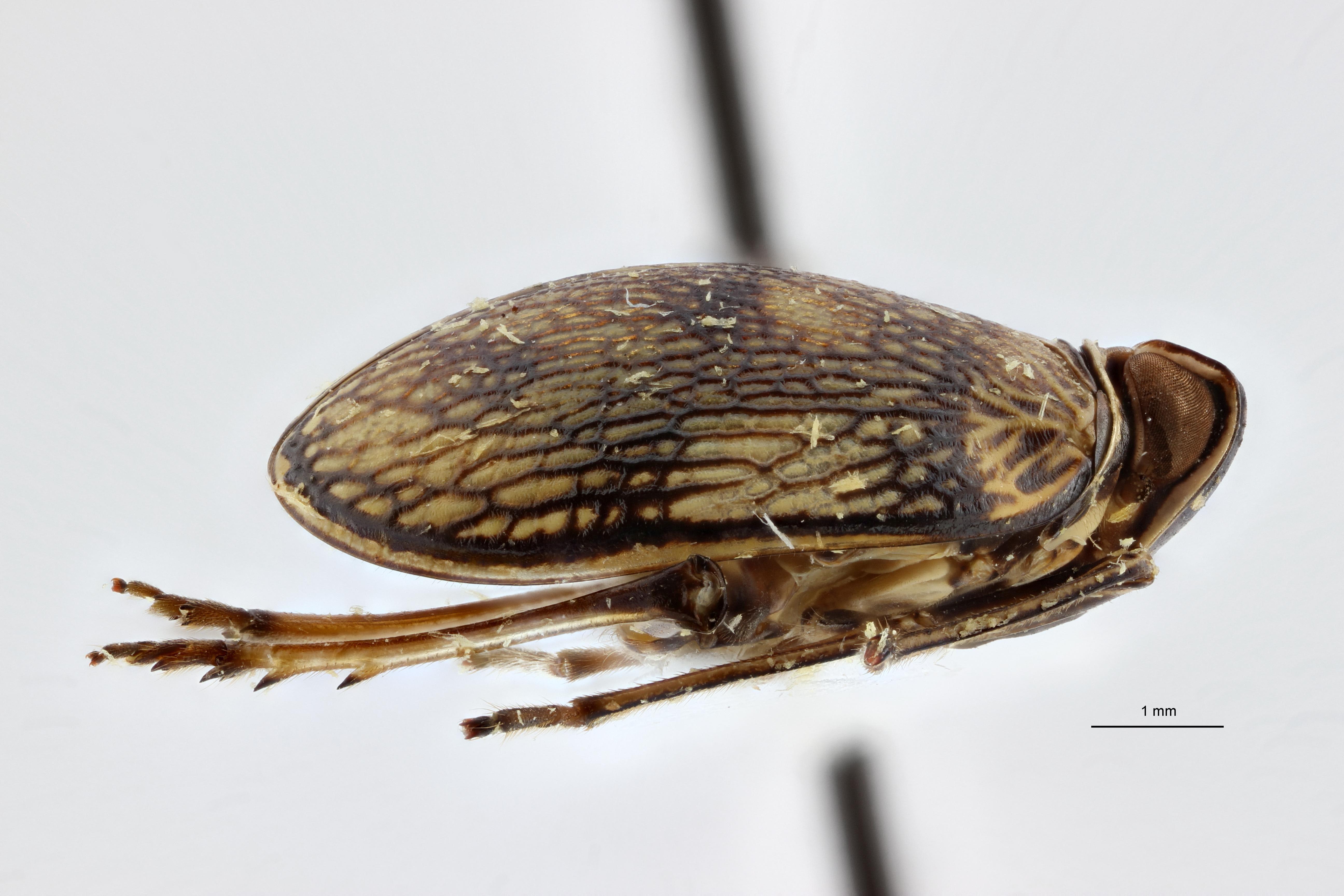 Neogergithoides baviana pt3 L ZS PMax.jpg