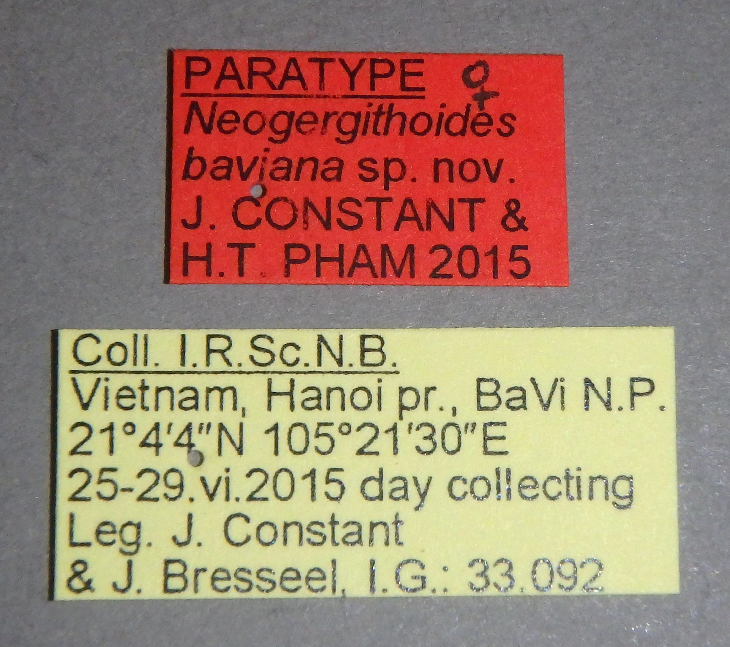 Neogergithoides baviana pt3 Lb.JPG