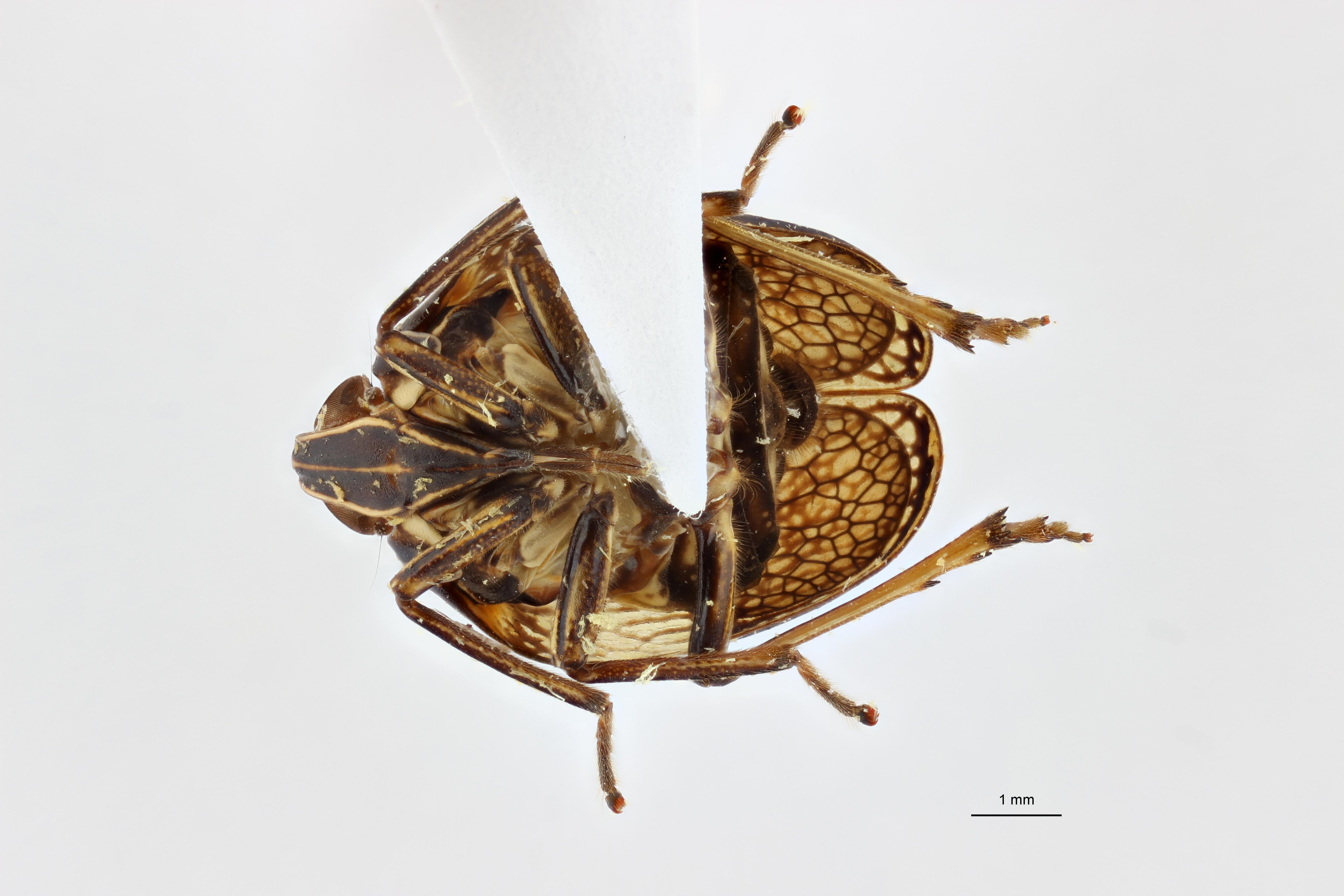 Neogergithoides baviana pt3 V ZS PMax.jpg