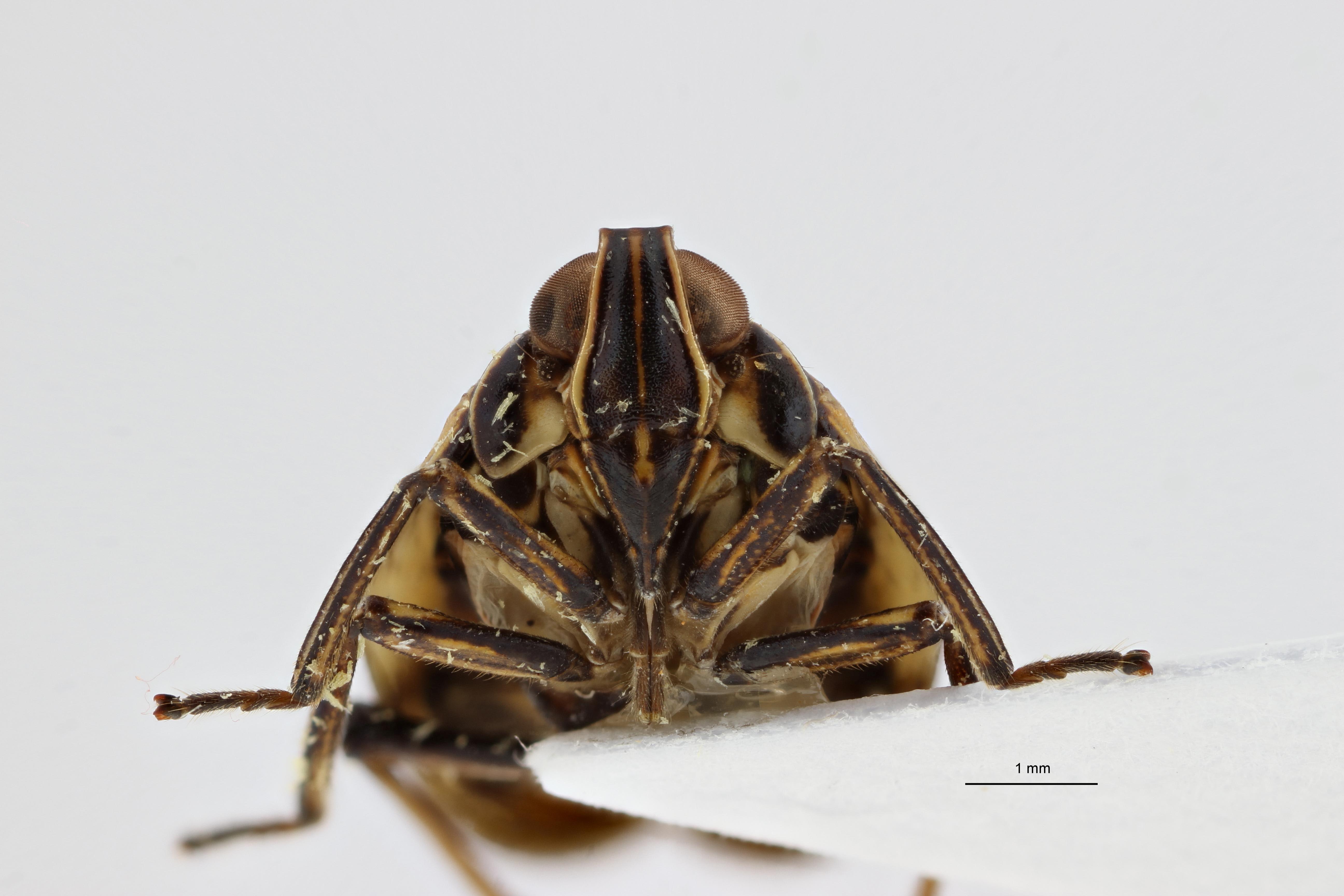 Neogergithoides baviana pt1 F ZS PMax.jpg