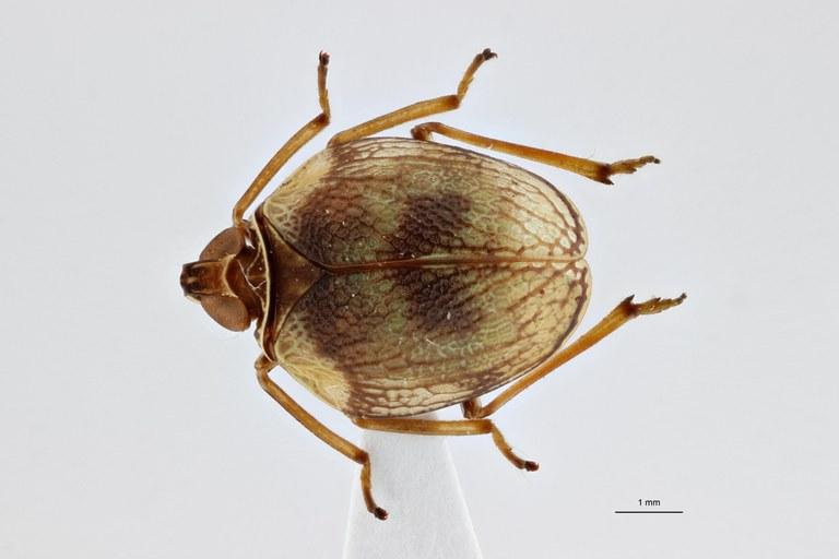 Neogergithoides grootaerti ht D ZS PMax.jpg