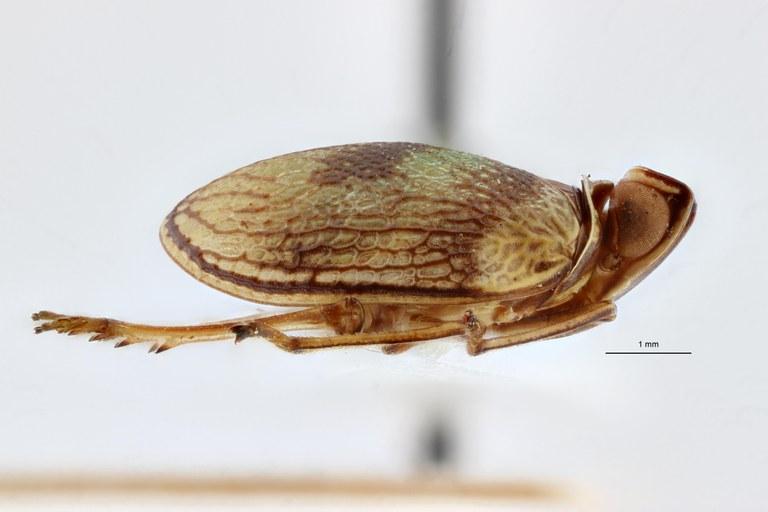 Neogergithoides grootaerti ht L ZS PMax.jpg