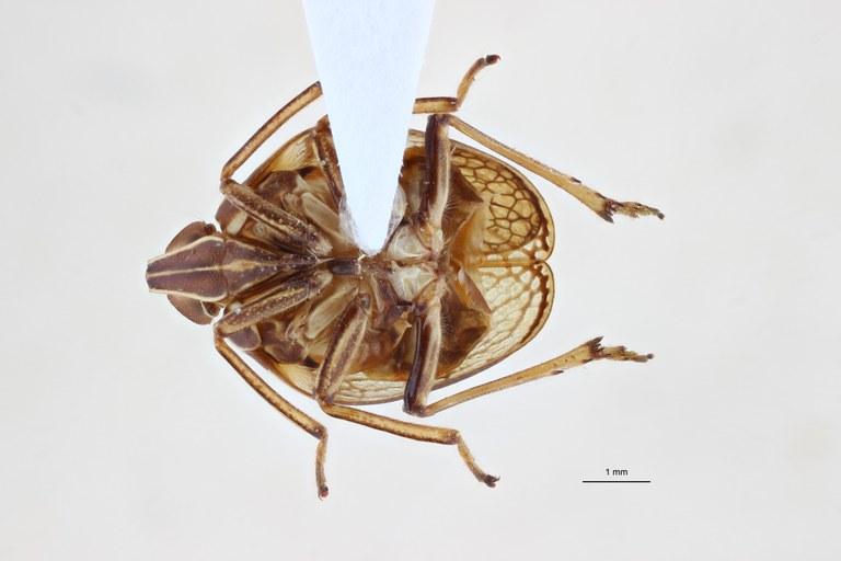 Neogergithoides grootaerti ht V ZS PMax.jpg