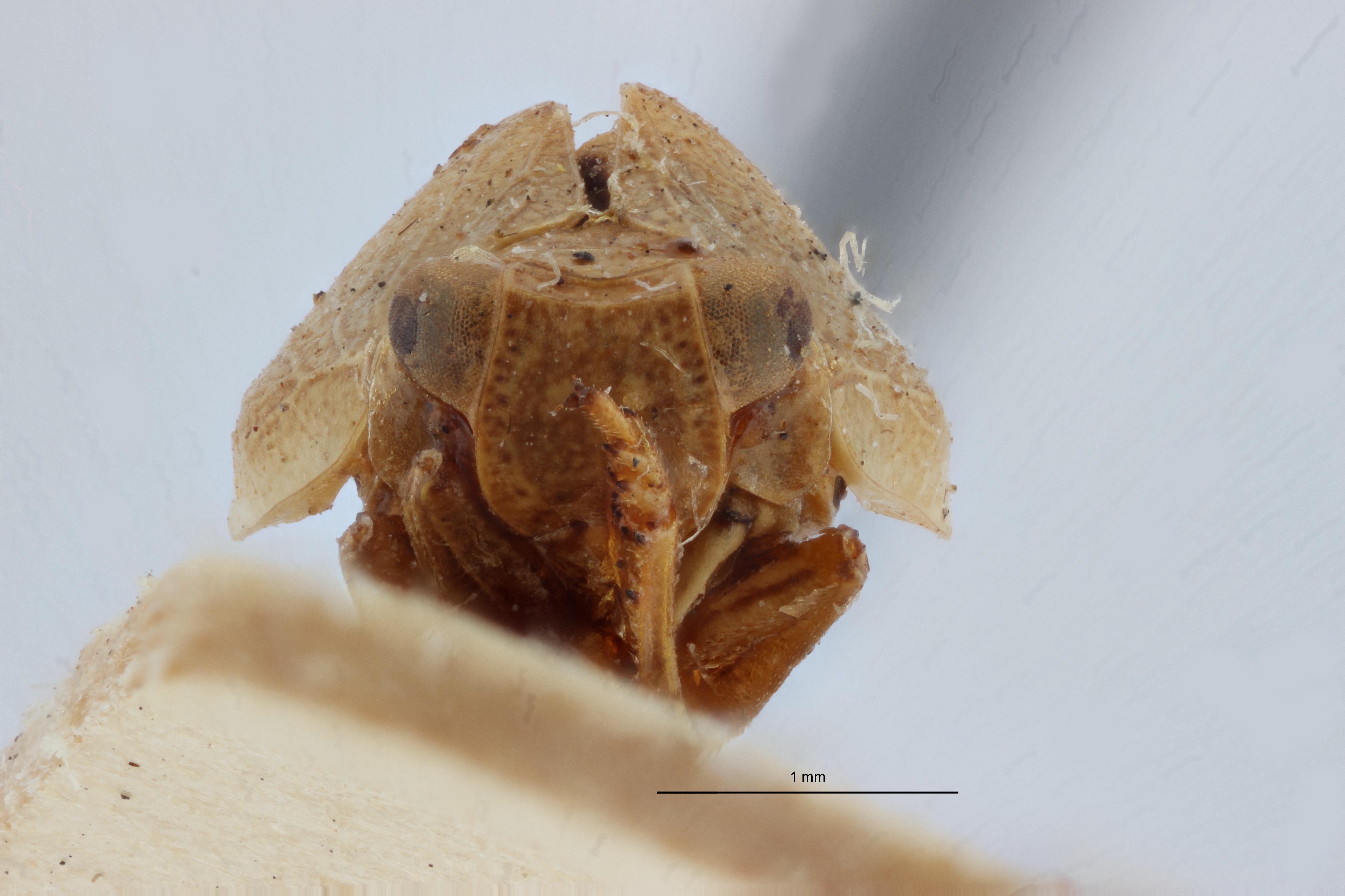 Falcidius diphtheriopsis st2 F ZS PMax.jpg