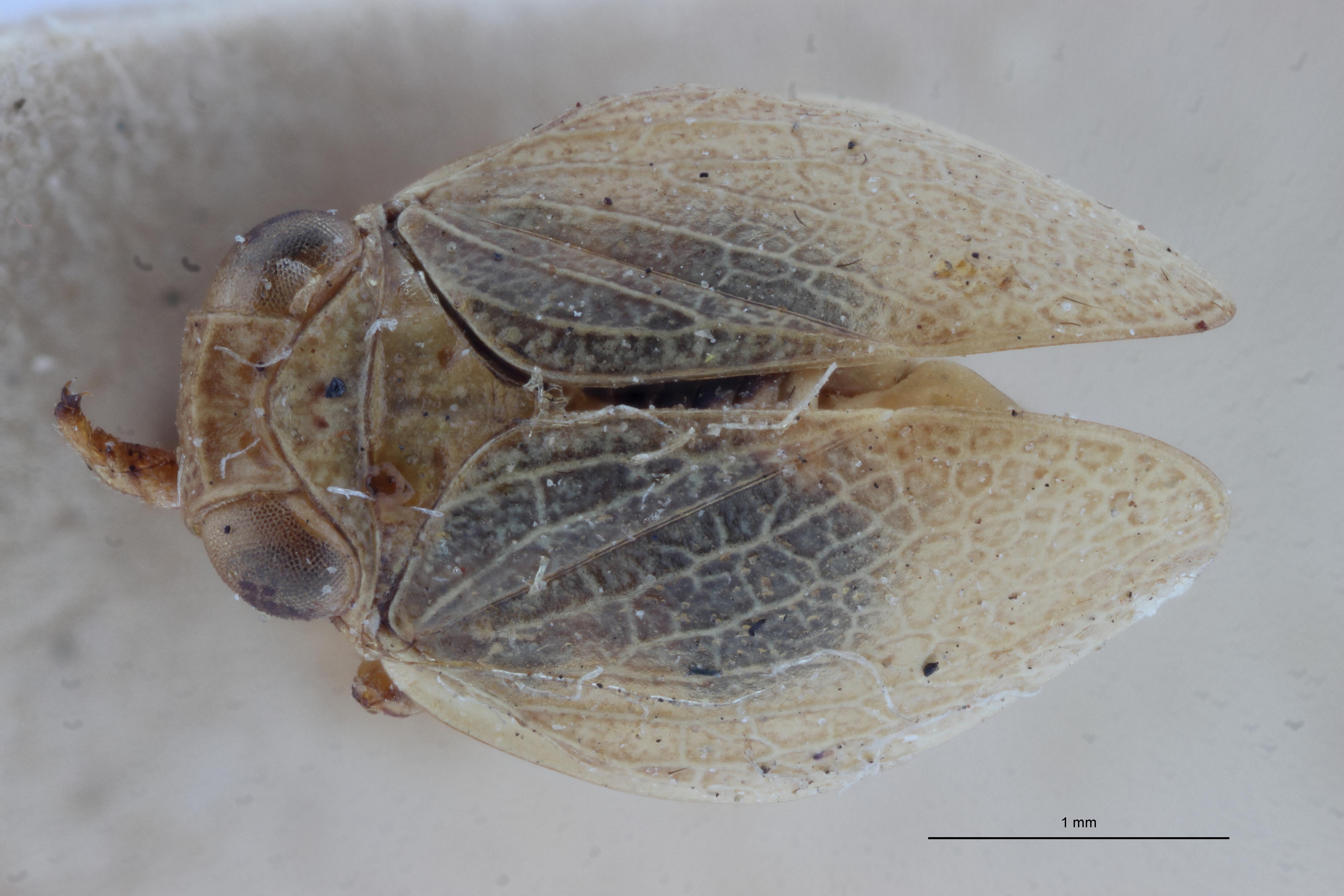 Falcidius diphtheriopsis st2 D ZS PMax.jpg