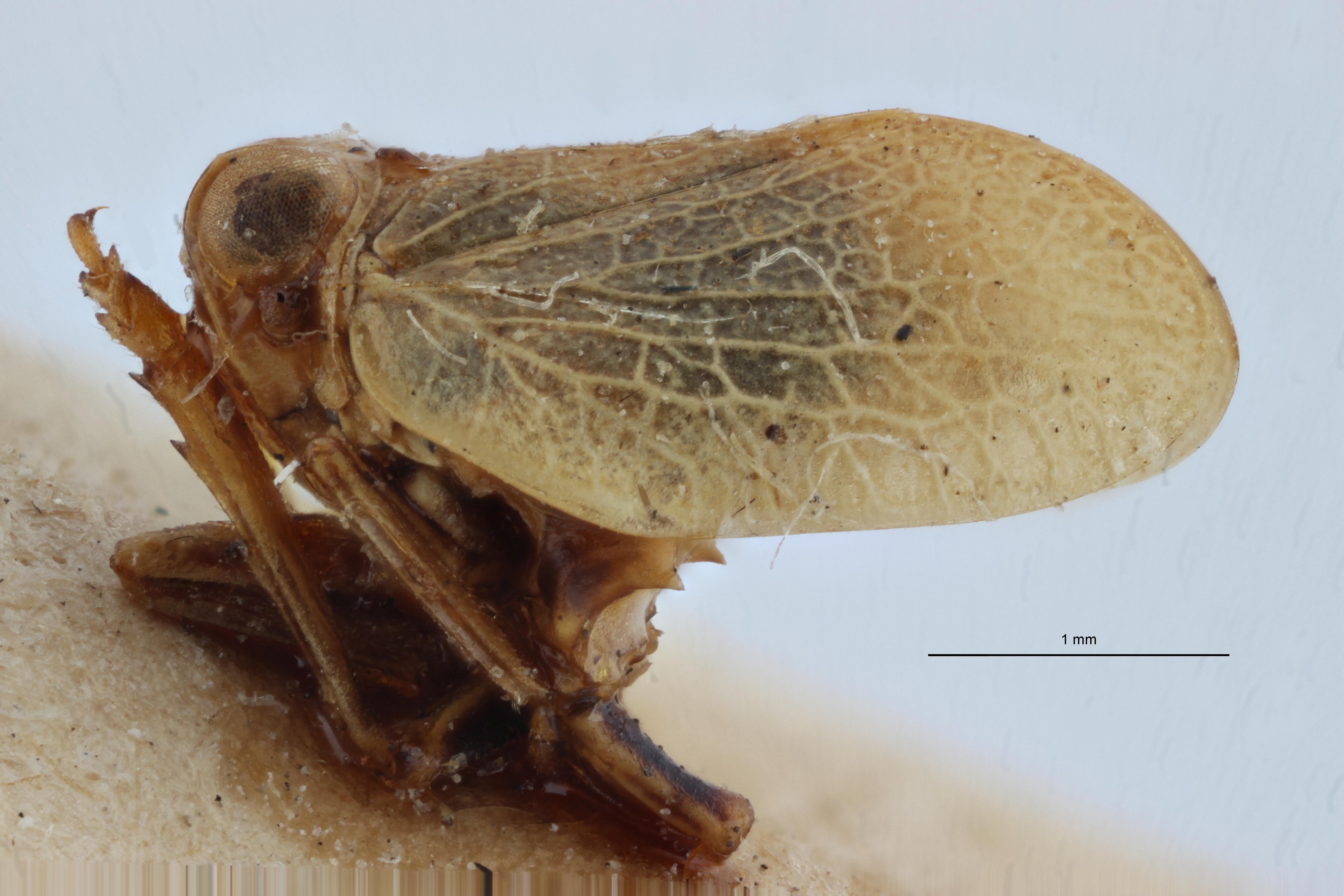 Falcidius diphtheriopsis st2 L ZS PMax.jpg