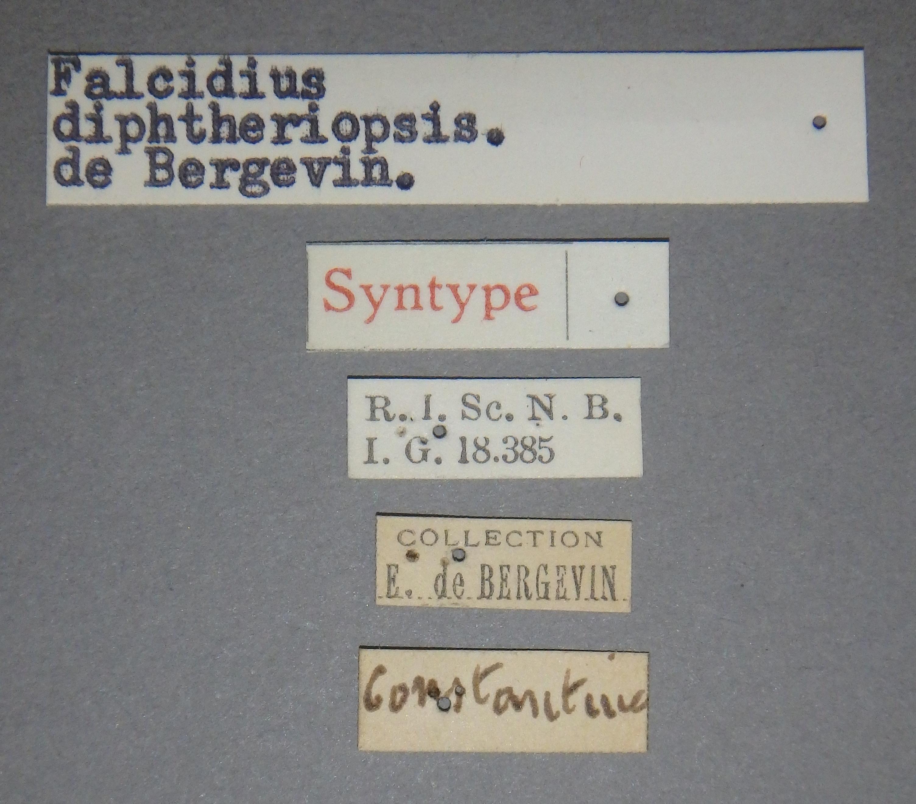 Falcidius diphtheriopsis st2 Lb.JPG