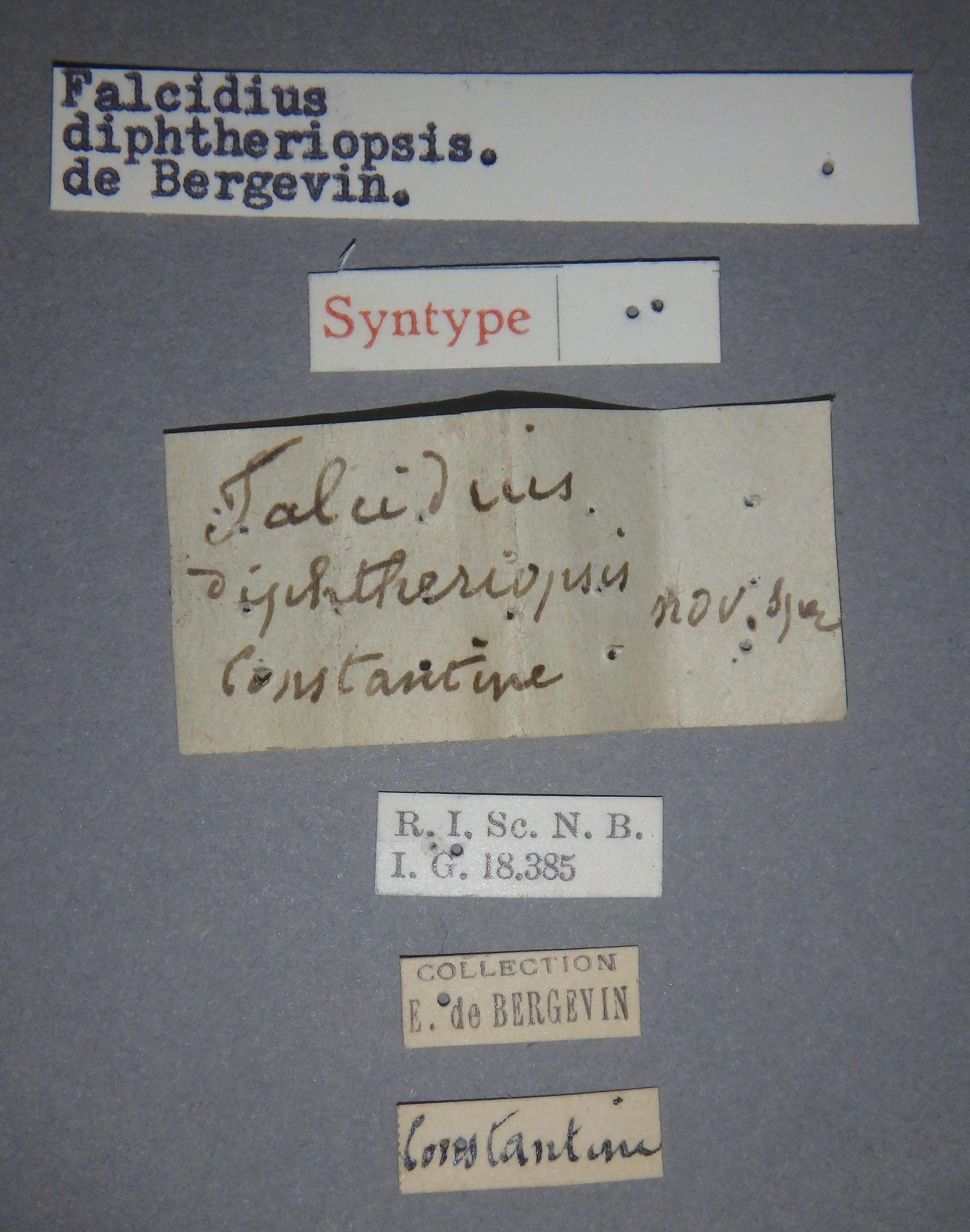 Falcidius diphtheriopsis st1 Lb.JPG