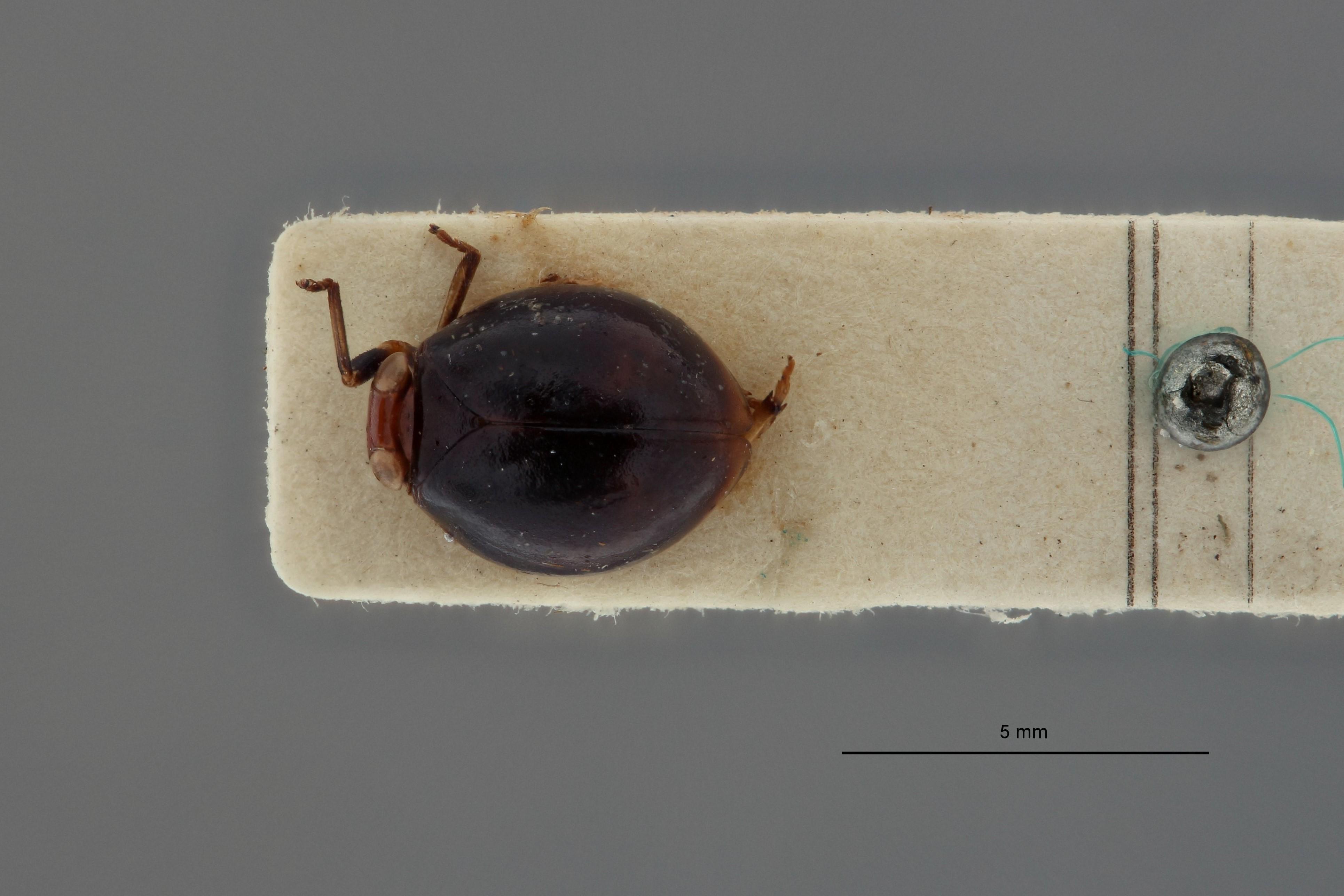Hemisphaerius astridae t D.jpg