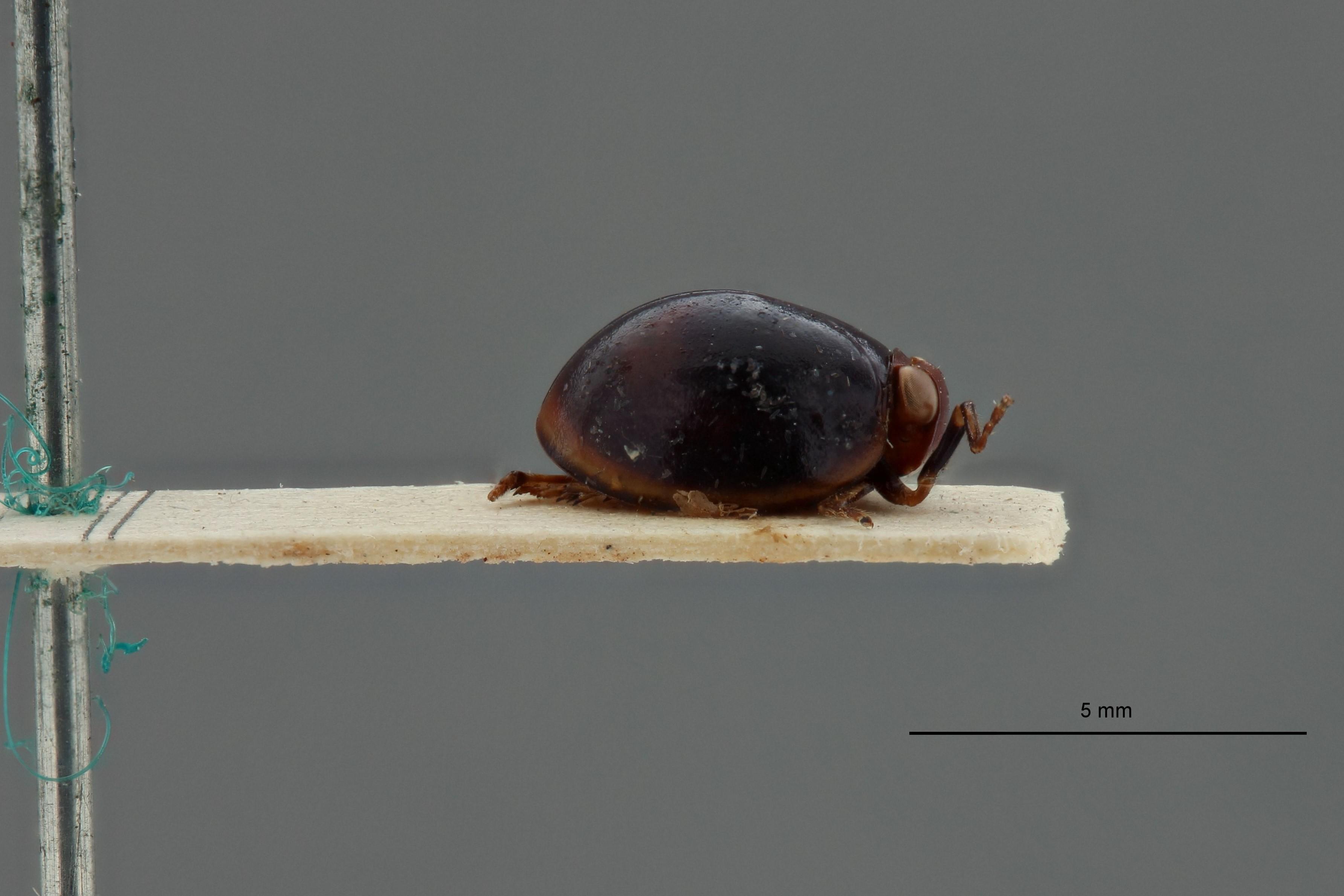 Hemisphaerius astridae t L.jpg