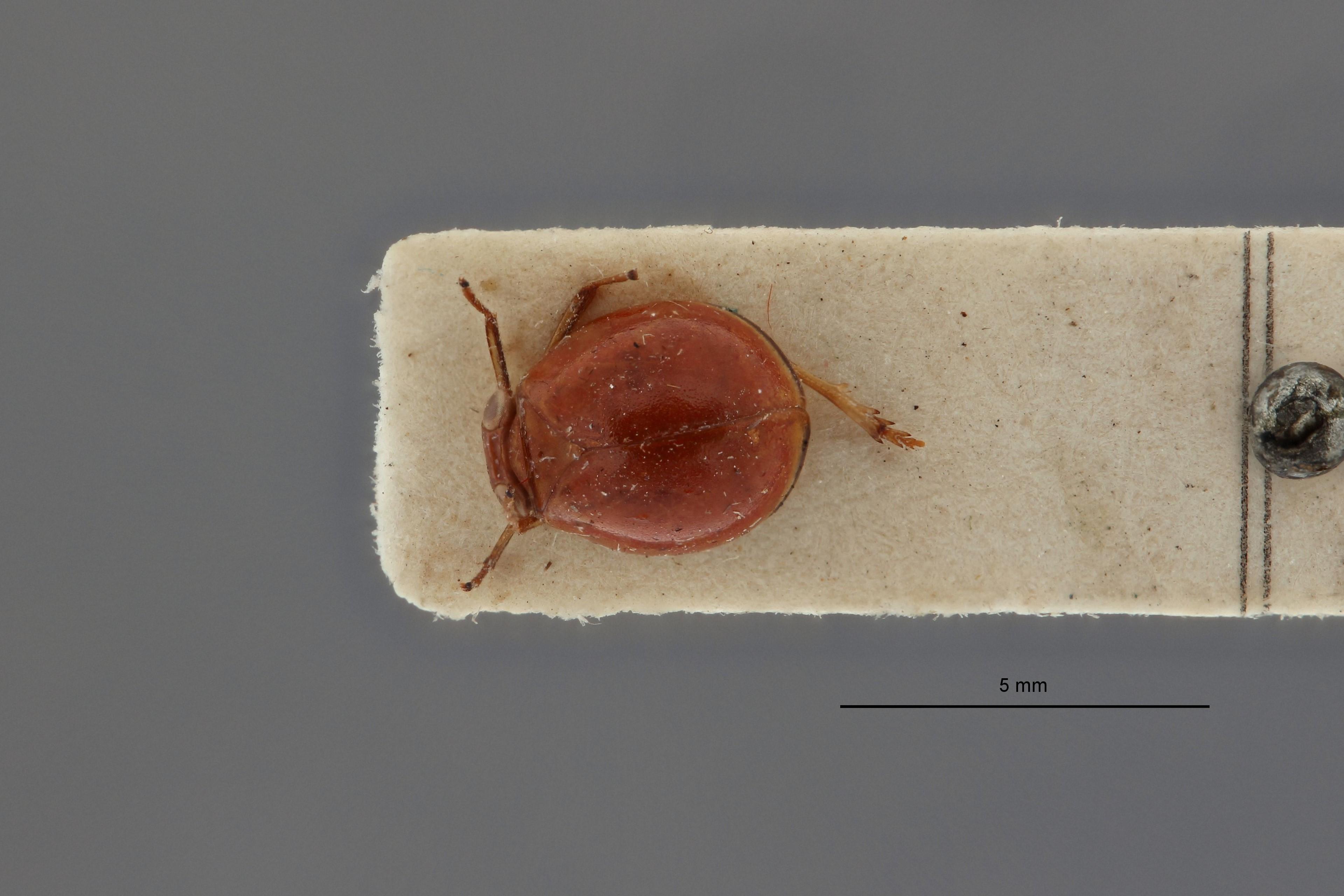 Hemisphaerius astridae pt D.jpg