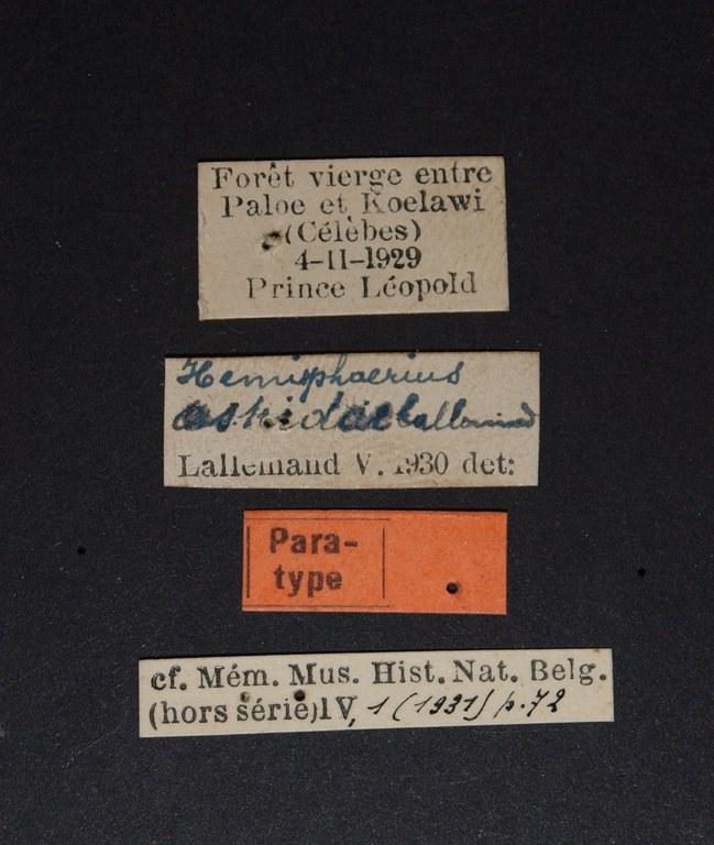 Hemisphaerius astridae pt.JPG