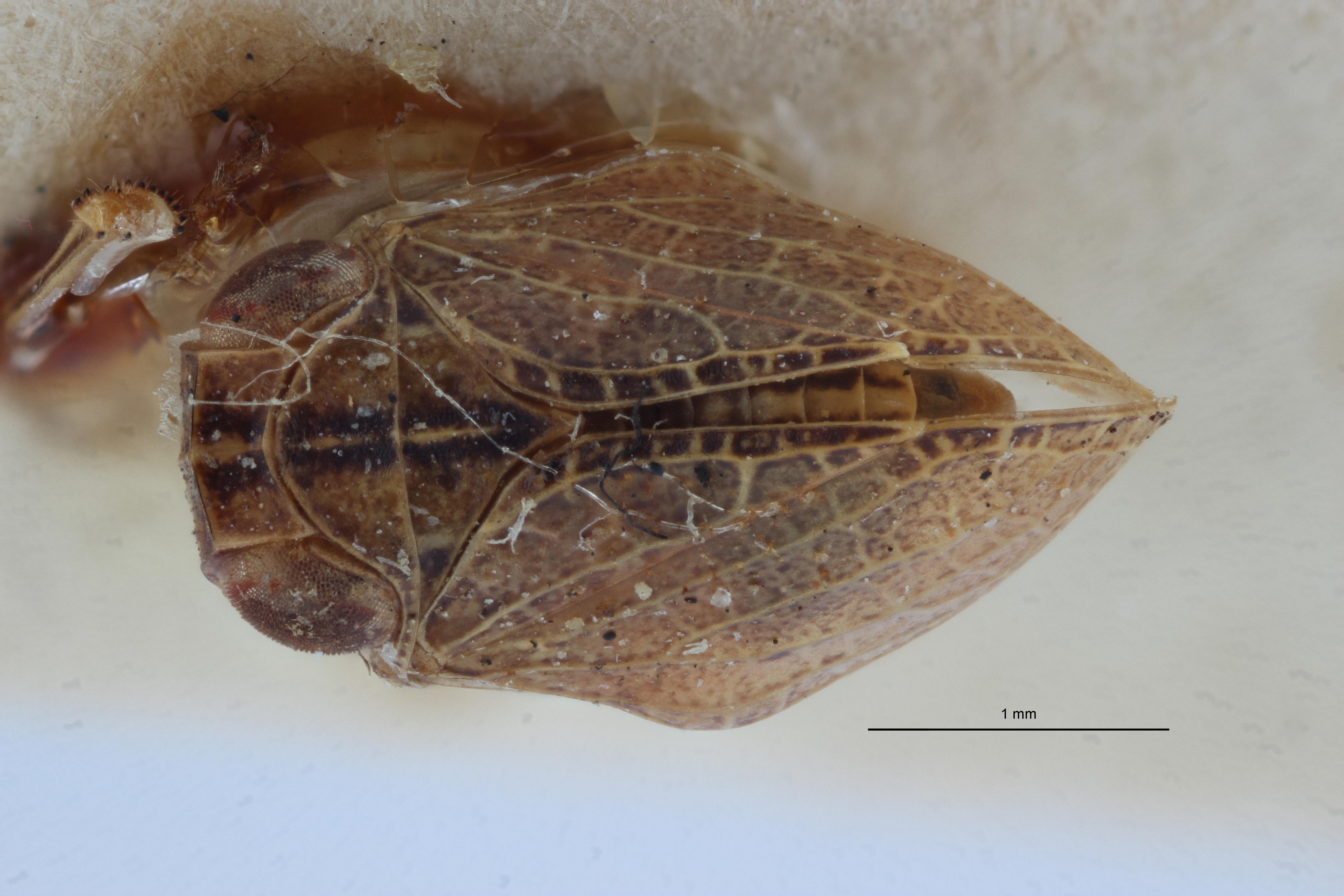Hysteropterum melanostictum st2 D ZS PMax.jpg