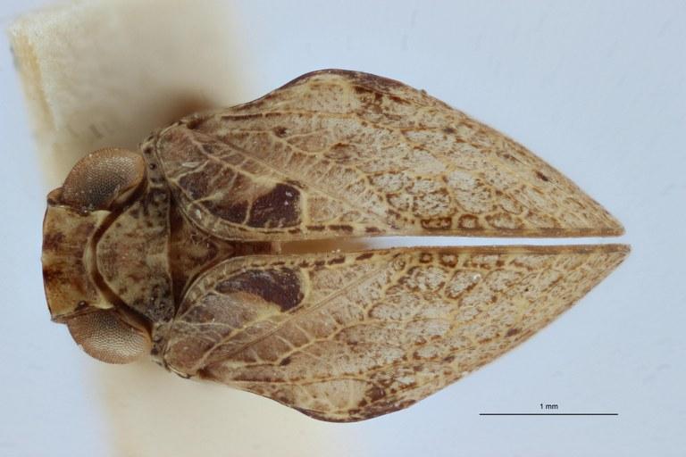 Hysterpterum menelaos pt D ZS PMax.jpg