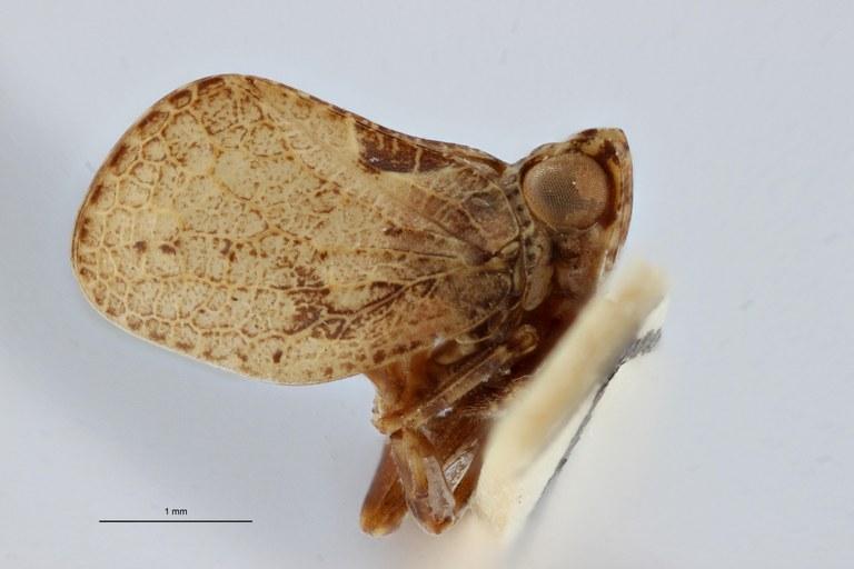 Hysterpterum menelaos pt L ZS PMax.jpg