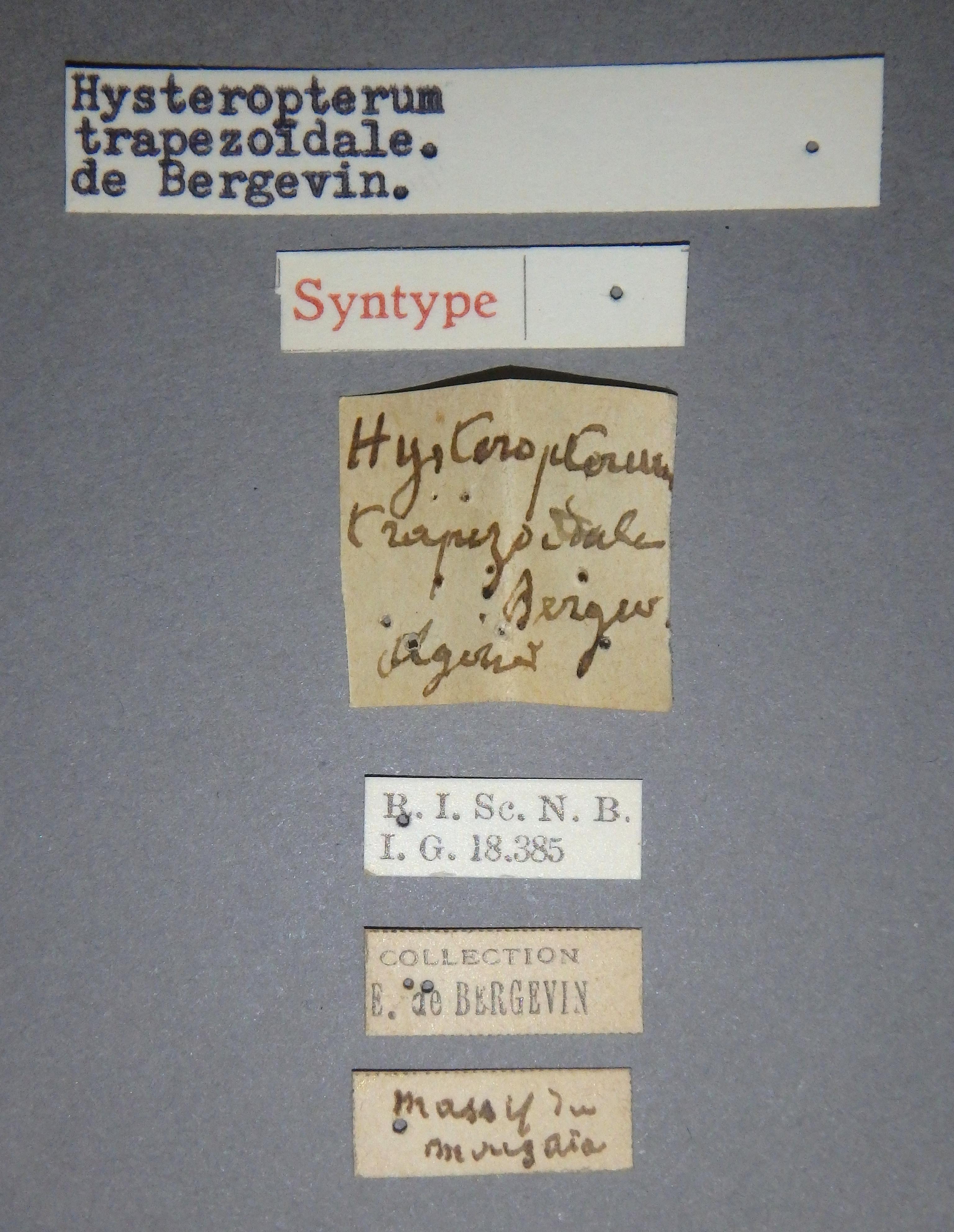 Hysteropterum trapezoïdale st1 Lb.JPG