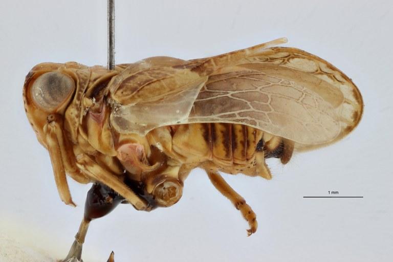 Kovacsiana abyssinica pt L ZS PMax Scaled.jpeg