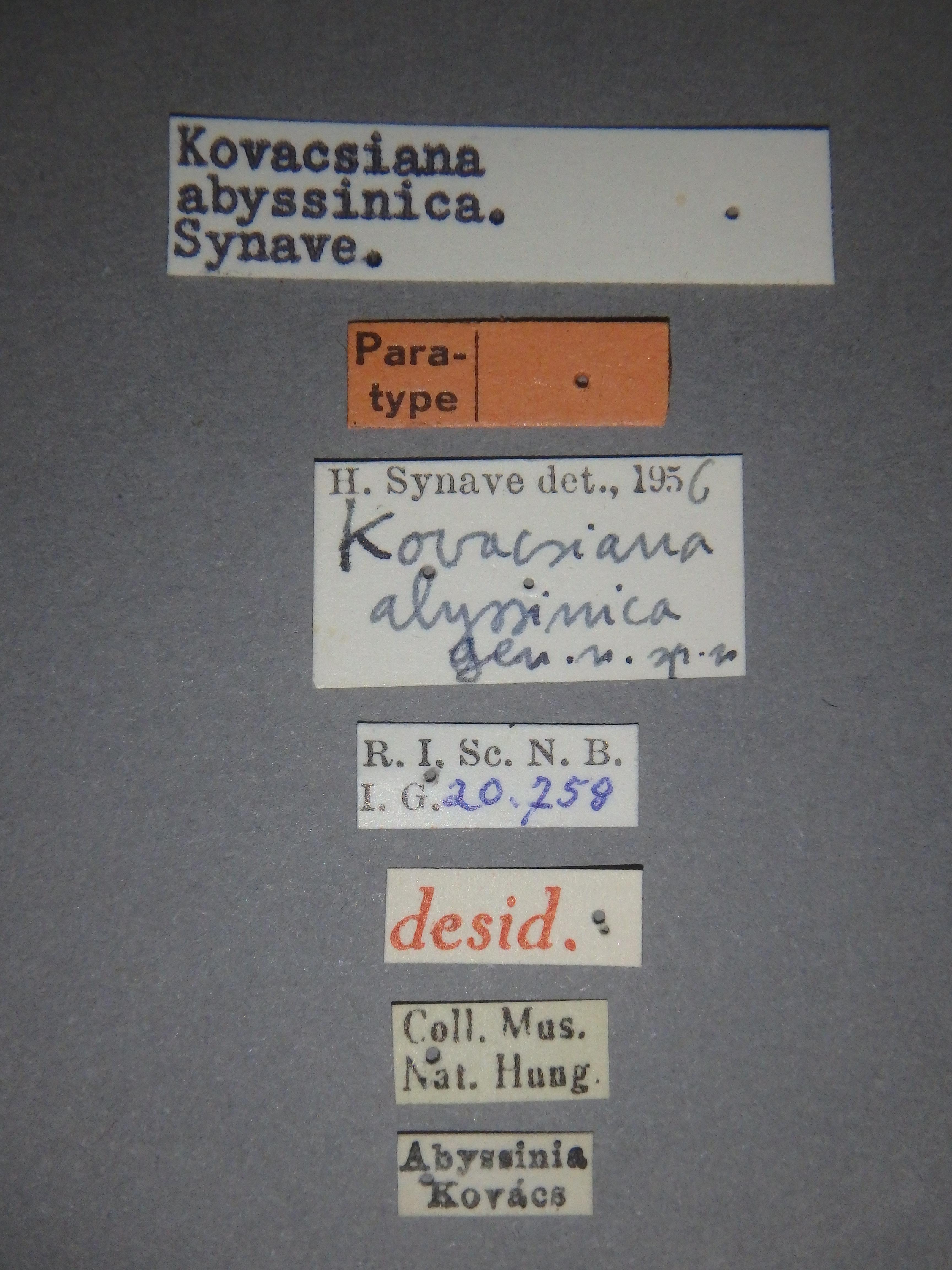Kovacsiana abyssinica pt Lb.JPG