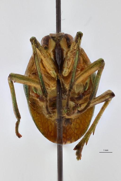 Prosonoma viridis ht F ZS PMax Scaled.jpeg